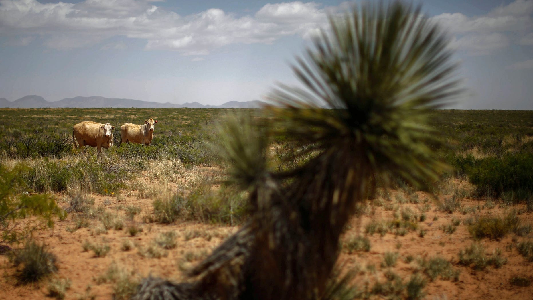 May 1, 2014: Cattle graze in a field outside Spaceport America near Truth or Consequences, New Mexico May 1, 2014.