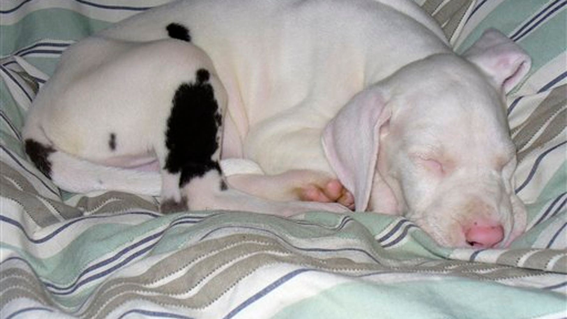 This October 2007 photo courtesy of Trevor S. Cornpropst shows Keller sleeping in Fredericksburg, Va.  Cornpropst rescued the all-white, deaf and blind Great Dane puppy at 8-weeks-old. He spent weeks sitting up with the pup he named Keller, in honor of Helen Keller, to comfort him as he settled in. Cornpropst wanted the puppy to feel secure without benefit of soothing coos, facial expressions and other body language.  That was back in 2007. Keller is now 120 pounds, healthy and happy, Cornpropst said.   (AP Photo/Trevor S. Cornpropst)  NO SALES