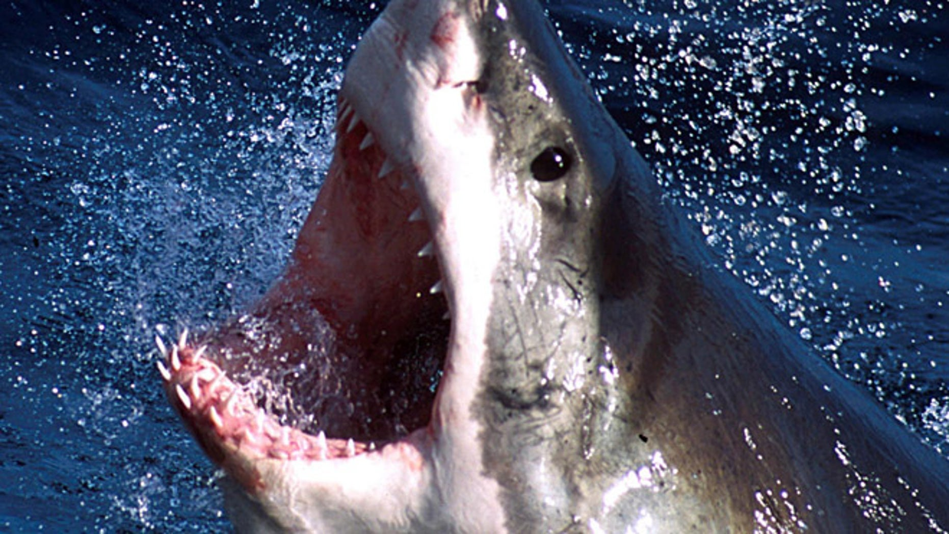FILE 2002: Authorities have determined that the man who suffered leg injuries while swimming off the coast of Cape Cod last month was bitten by a great white shark.