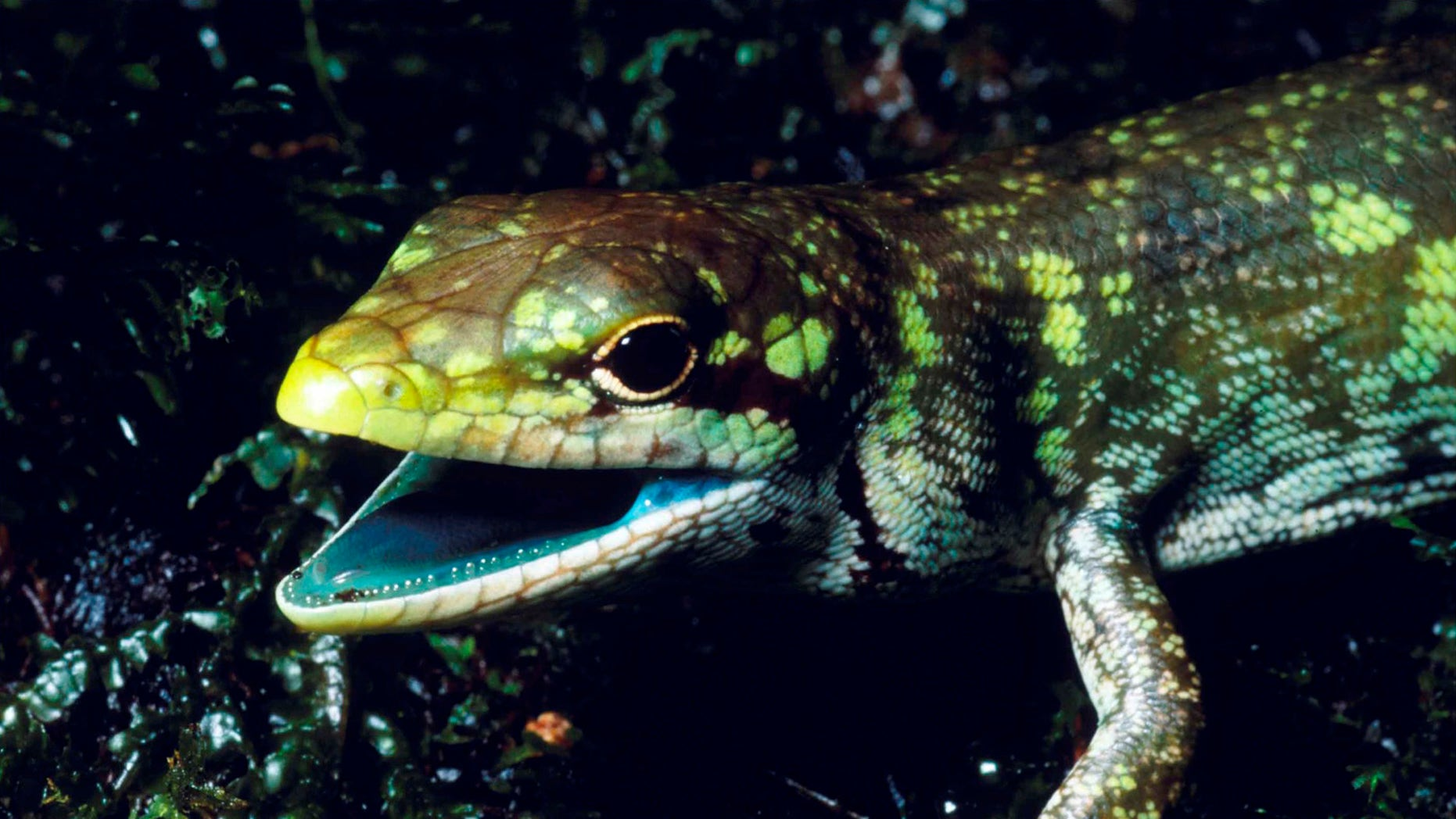 This undated photo provided by Christopher Austin in May 2018 shows a prehensile tailed skink (Prasinohaema prehensicauda) from the highlands of New Papua New Guinea. The high concentrations of the green bile pigment biliverdin in the blood overwhelms the crimson color of red blood cells resulting in a lime-green coloration of the muscles, bones, and mucosal tissues. (Christopher Austin via AP)
