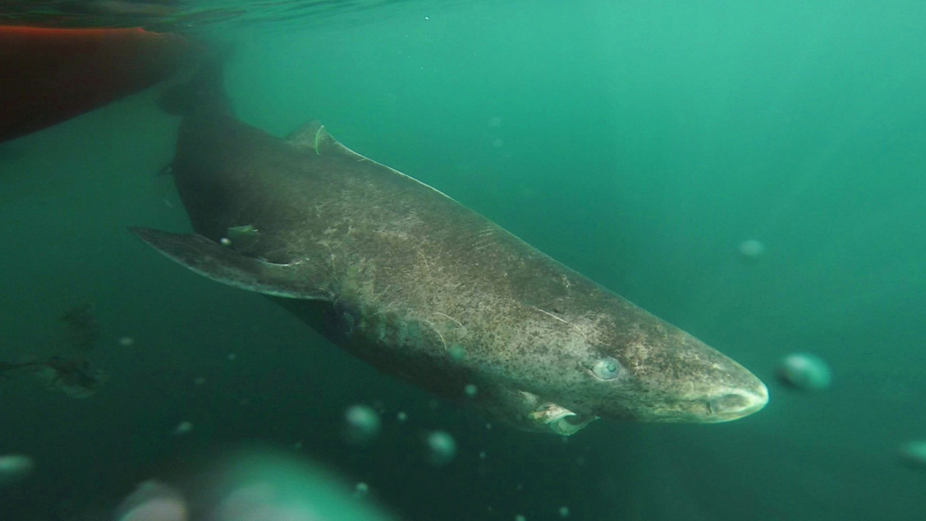 Aug. 11, 2016: This undated photo shows a Greenland shark slowly swimming away from a boat, returning to the deep and cold waters of the Uummannaq Fjord in northwestern Greenland during a tag -and- release program in Norway and Greenland.