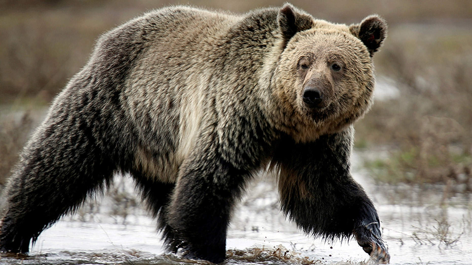 A grizzly bear roams through the Hayden Valley in Yellowstone National Park in Wyoming.