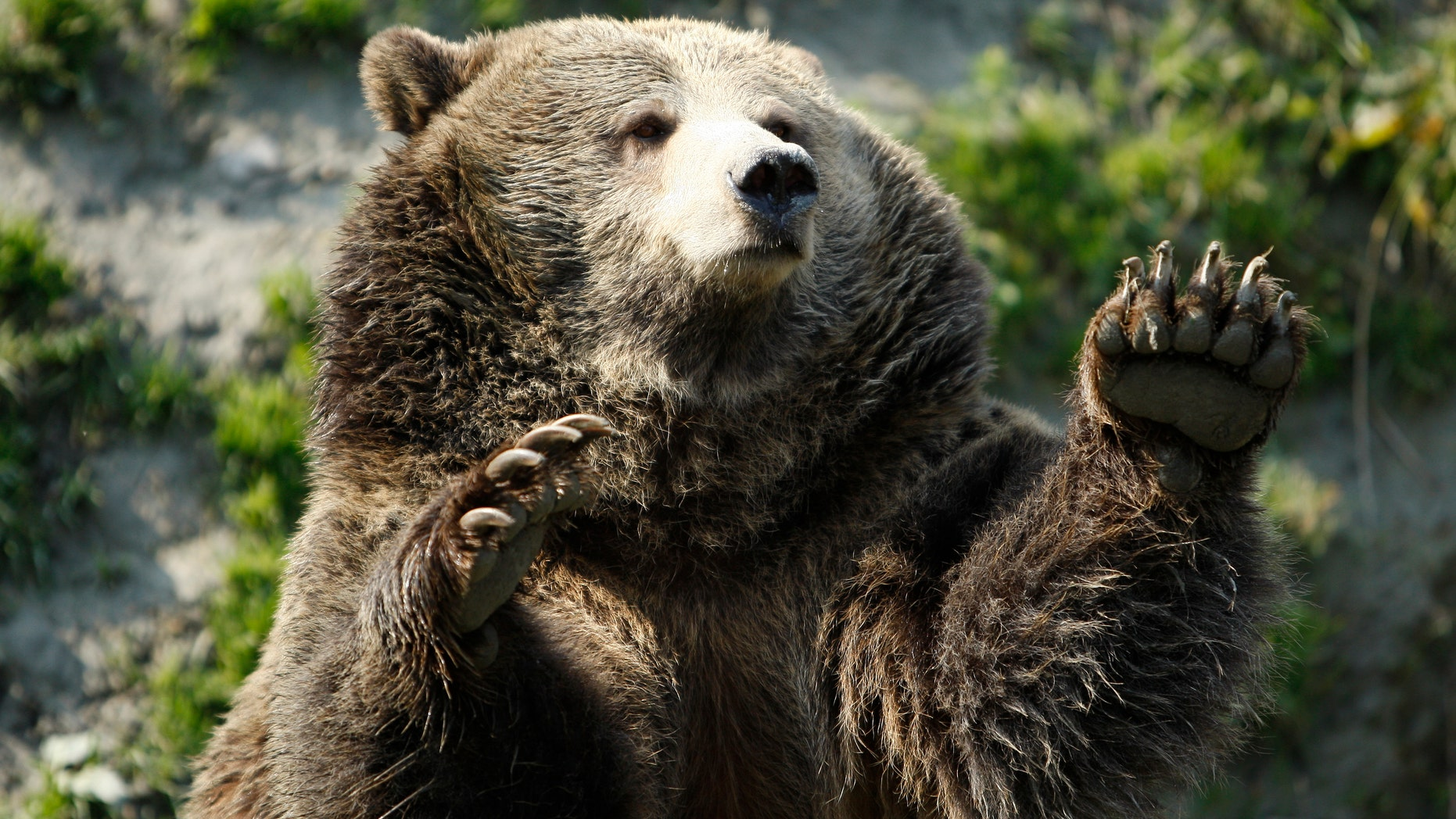 It's not known whether the man was mauled by a grizzly bear, pictured above, or a black bear. State Fish, Wildlife and Parks wardens are investigating the attack, which left the man seriously injured.