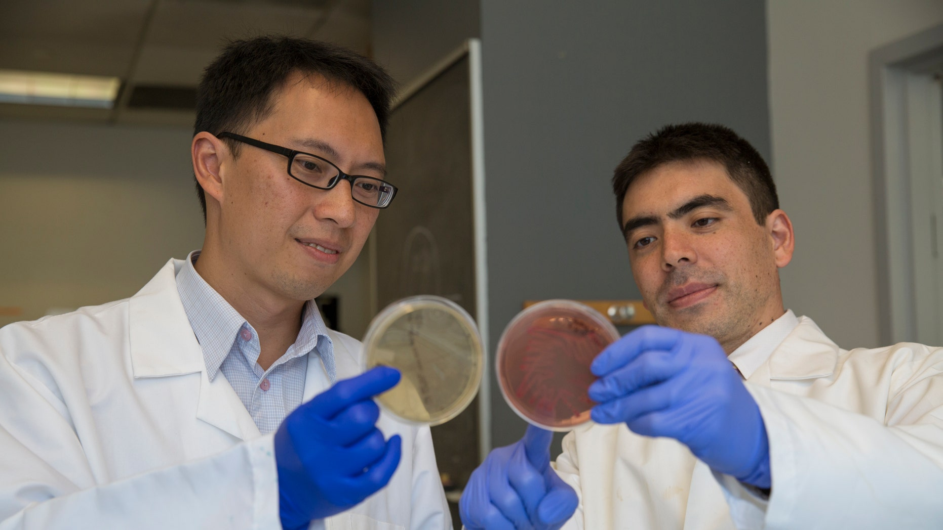 P'ng Loke, PhD (left), and Ken Cadwell, PhD, looking at bacterial plates in the Cadwell lab at the Skirball Institute of Biomolecular Medicine at NYU Langone.