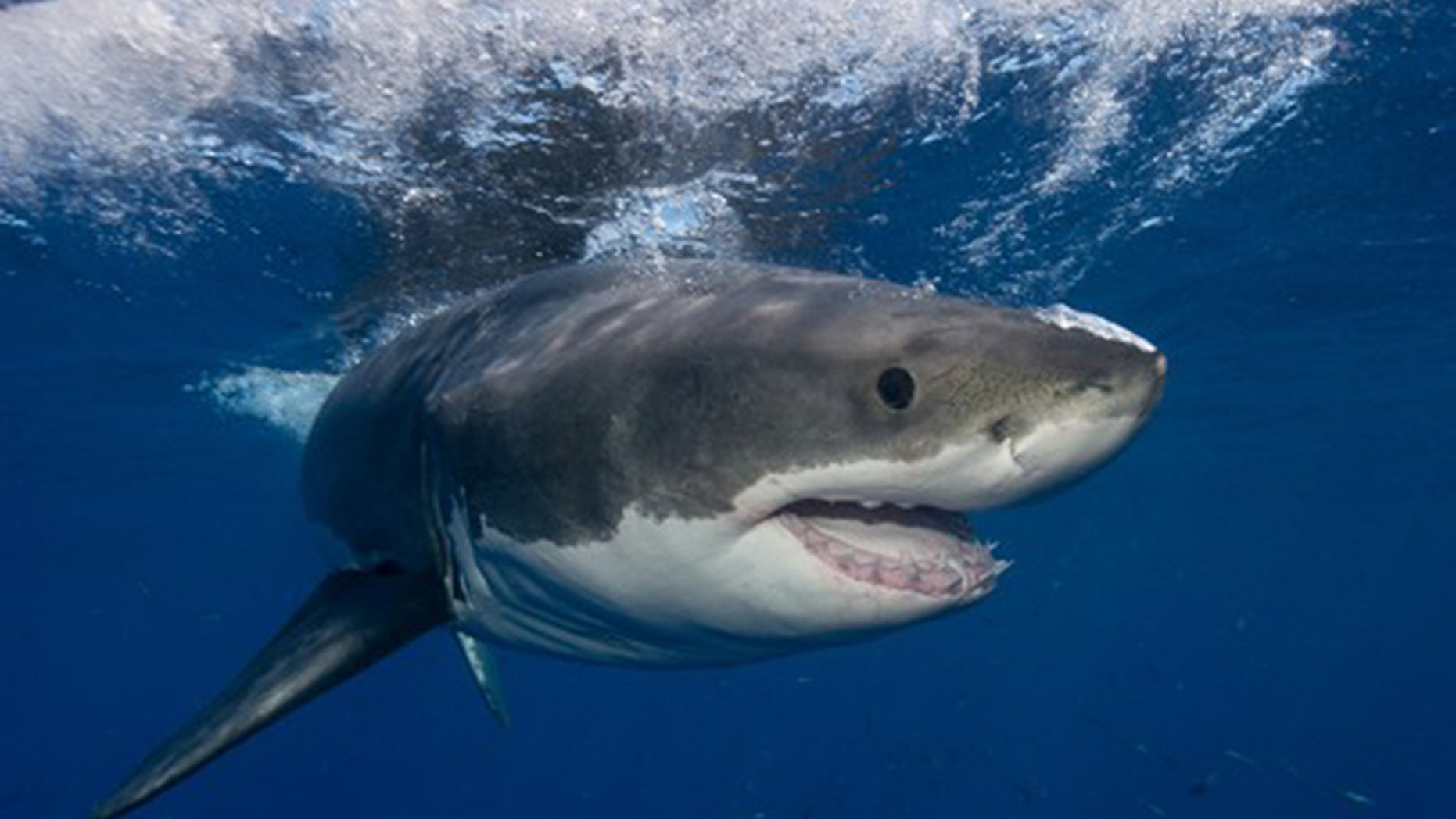 A great white shark is seen in this AP photo.