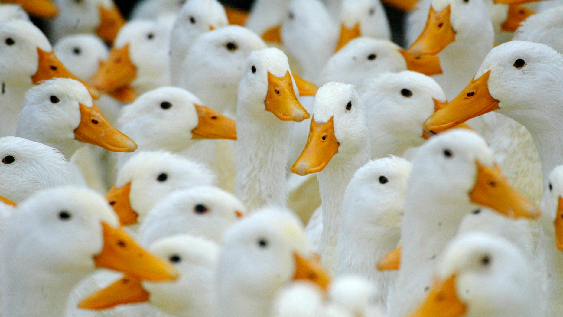 Ducks at a fresh market in Taipei wait to be slaughtered January 29, 2004. Taiwan found new cases of H5N2, a milder strain of avian flu, in ducks in the southwestern county of Yunlin on Thursday and plans to cull 10,000 ducks in a bid to stop the spread of the disease.