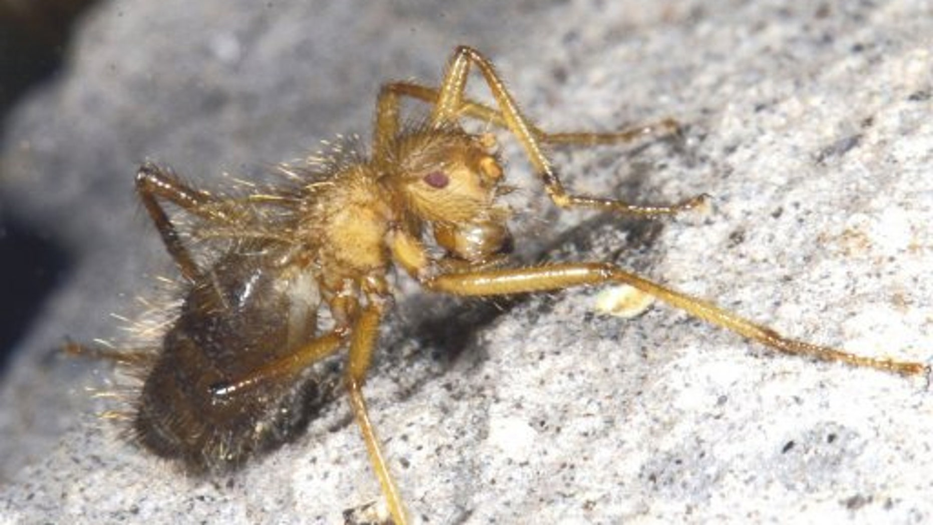Unable to fly and partial to breeding in bat faeces, the fly is thought to live only in the dank, bat-filled cleft of an isolated rock in the Ukazi Hills.