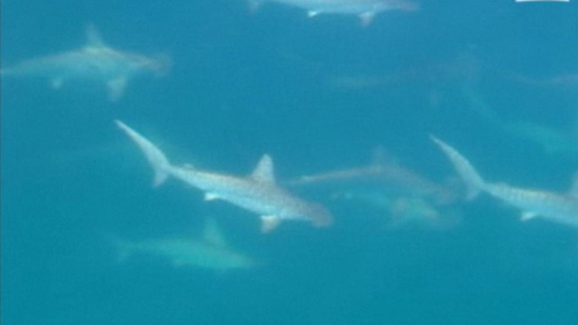 A screen capture of the rare hammerhead shark mating ritual, caught on camera by an Australian news team.