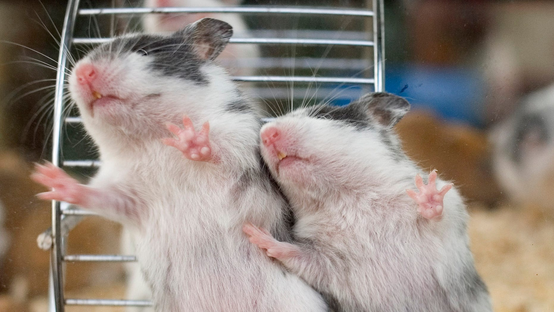 File photo. Hamsters scramble up the side of a glass cage at a pet market in Paris August 19, 2007.