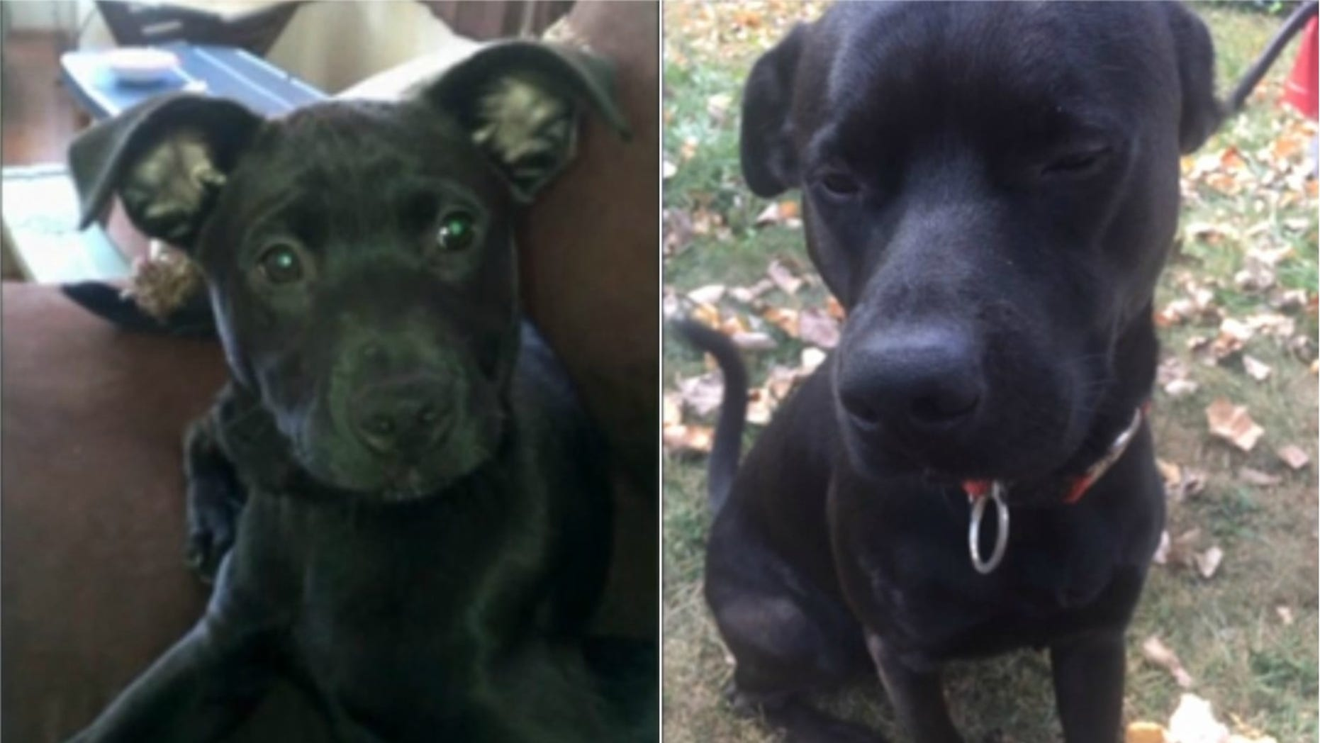 Harley, a two-year-old Labrador Retriever mix puppy, was found dead along the railroad tracks in Ohio (Photo: Fox 8 Cleveland)