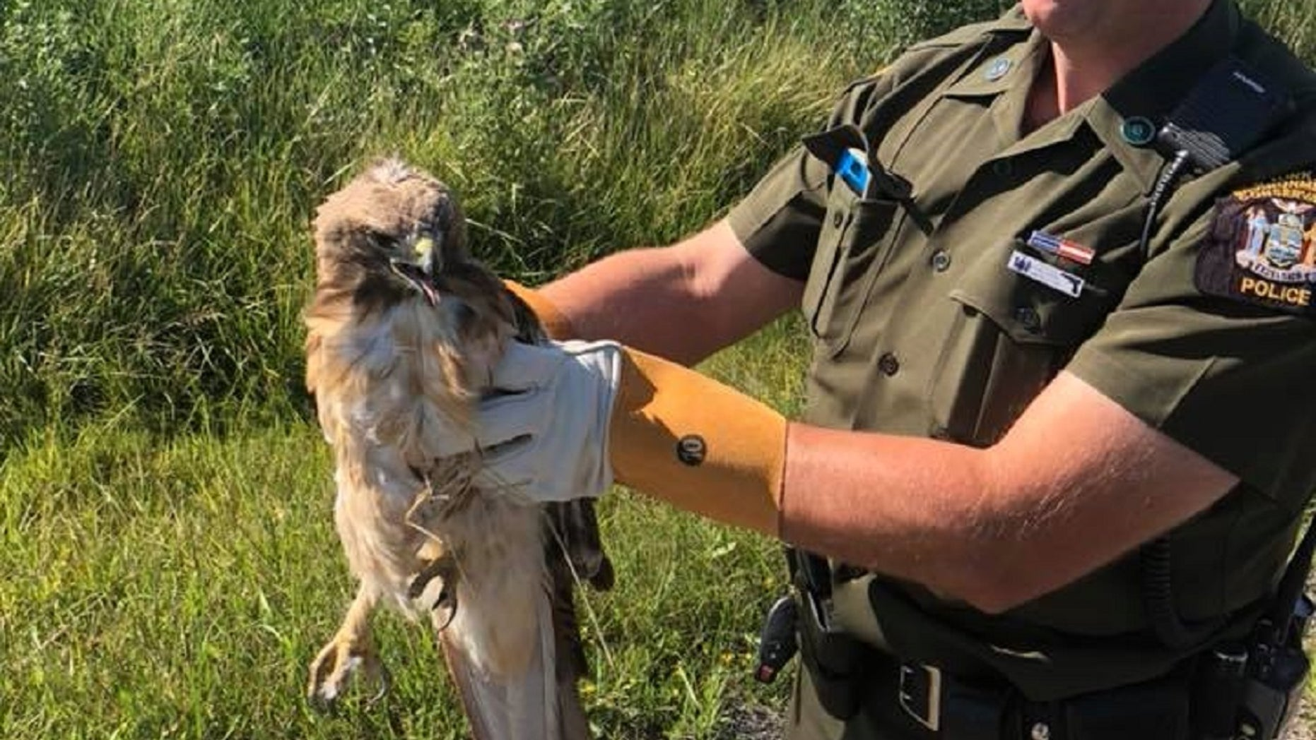 A red-tailed hawk was saved in upstate New York last week, authorities there say.