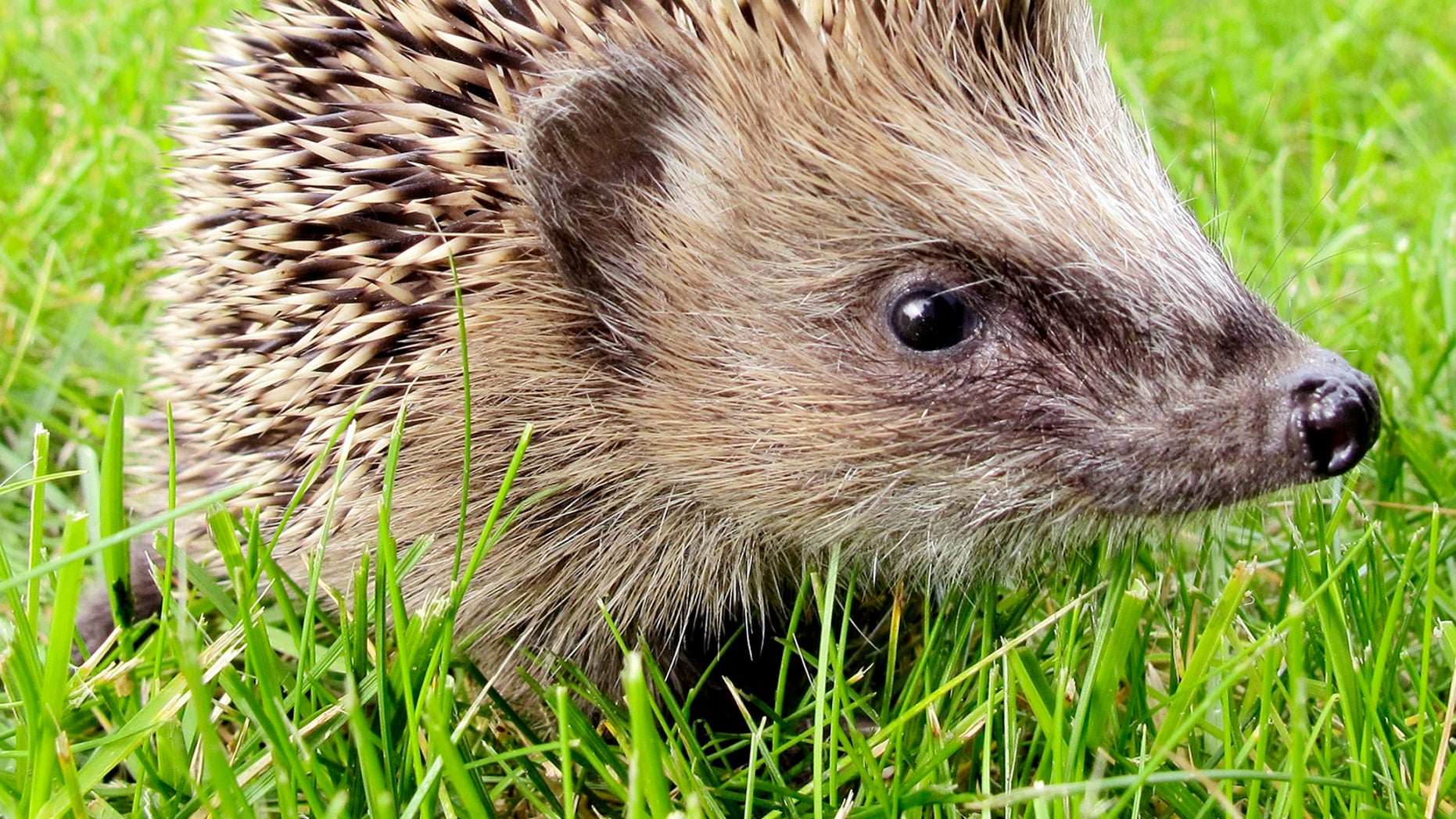 A baby hedgehog walks through grass looking for something to eat on a lawn in Frankfurt, central Germany, Friday, Sept. 24, 2010. The hedgehog belongs to a family of five hedgehogs that lost their mother that was run over by a car and killed. (AP Photo/Michael Probst)