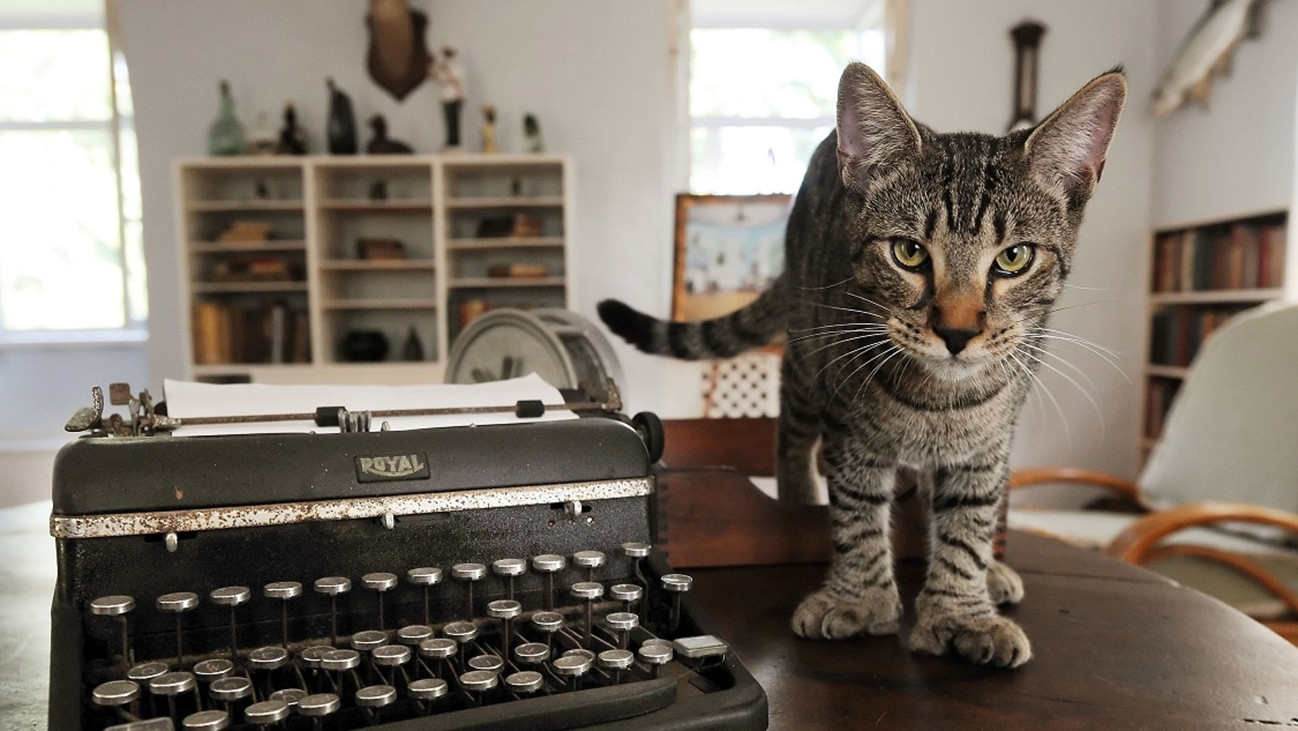 Six-toed cats that wander the Hemingway Home and Museum, many of which are descendants of Hemingway's beloved polydactyl feline friends.