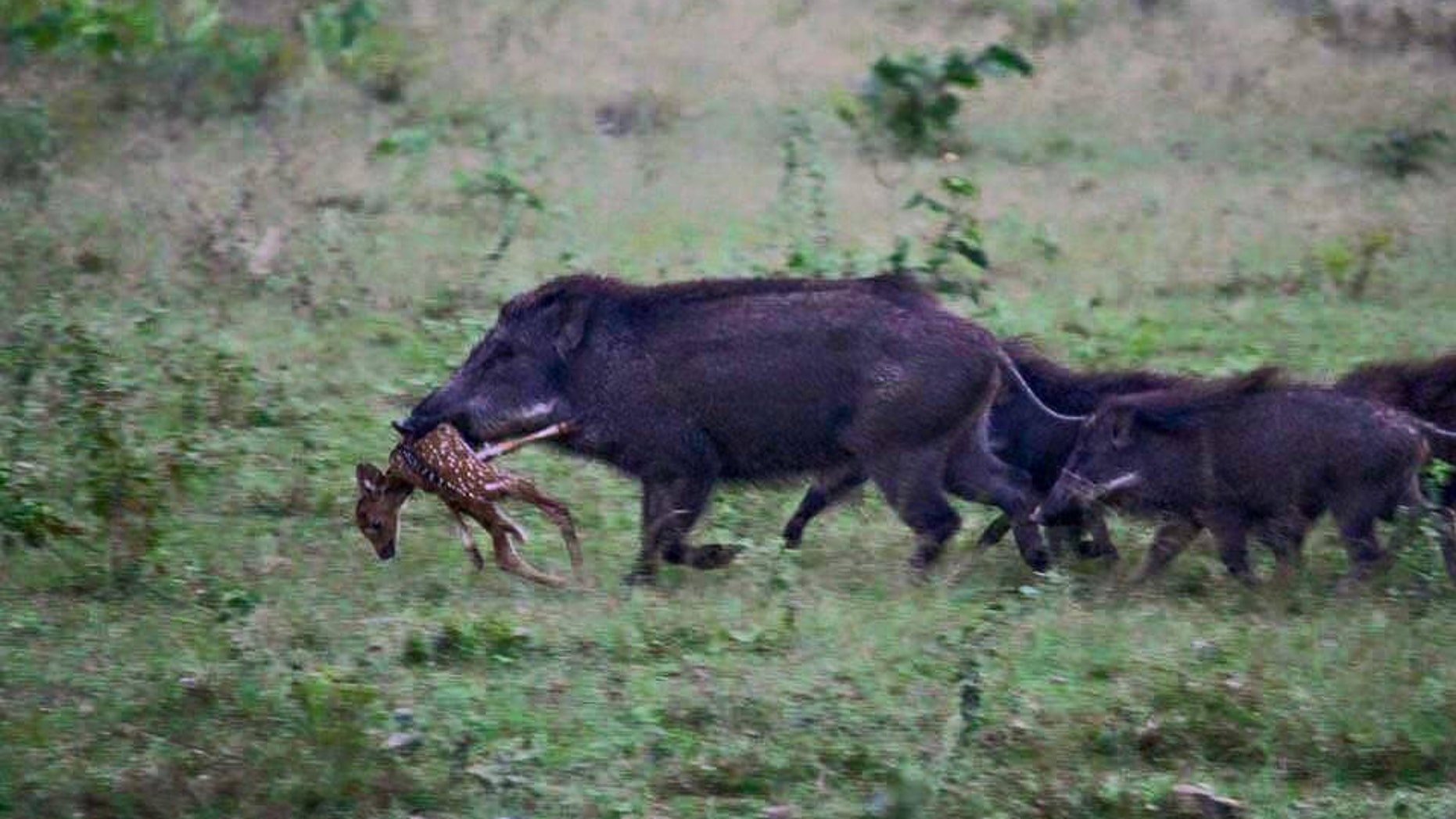 This photo, provided by LouisianaBowhunter.com, shows a herd of wild hogs feasting on a deer fawn.