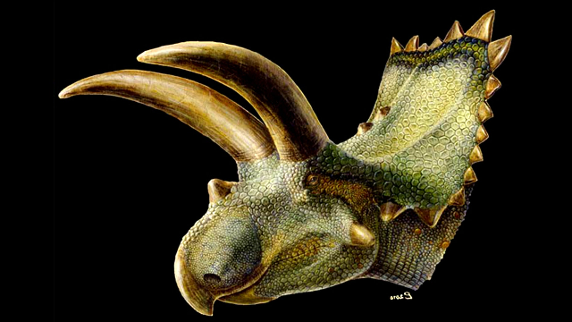 This fleshed-out artist's rendering of the Mexican horned dinosaur Coahuilaceratops, shows its gigantic horns – larger than any member of its group, including the famous Triceratops.