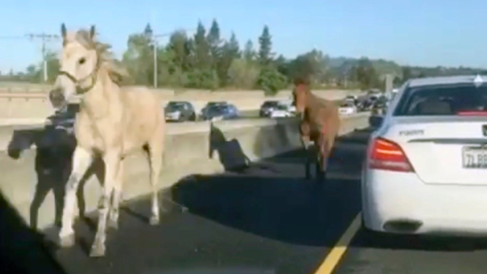 In this image made from a video provided by @slimjanders a white horse and a brown mule run across Interstate 680 east of San Francisco on Monday, March 27, 2017. Steve Burdo with Contra Costa County Animal Services says the animals broke through a fence about a mile away. Authorities shut down lanes shortly before 7:30 a.m. as motorists shot cellphone video and officers rounded up the four-legged fugitives (@slimjanders via AP)