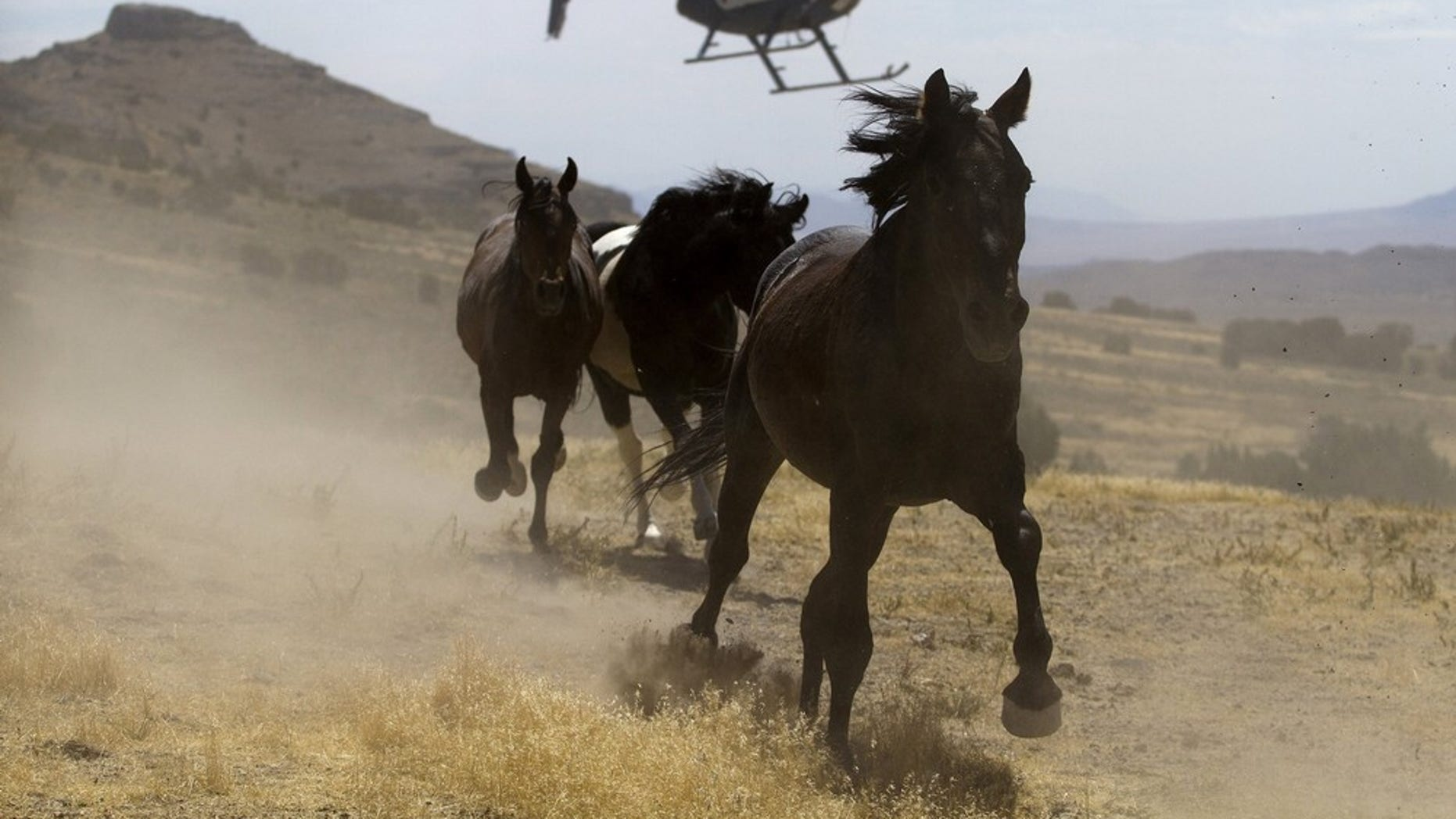 RNPS IMAGES OF THE YEAR 2010 - A helicopter is used by the Bureau of Land Management (BLM) to gather wild horses in the Conger Mountains near Border in Utah September 7, 2010. The BLM plans to round-up approximately 480 wild horses for placement in the BLM's adoption program or long-term pastures. REUTERS/Jim Urquhart (UNITED STATES - Tags: SOCIETY ANIMALS)