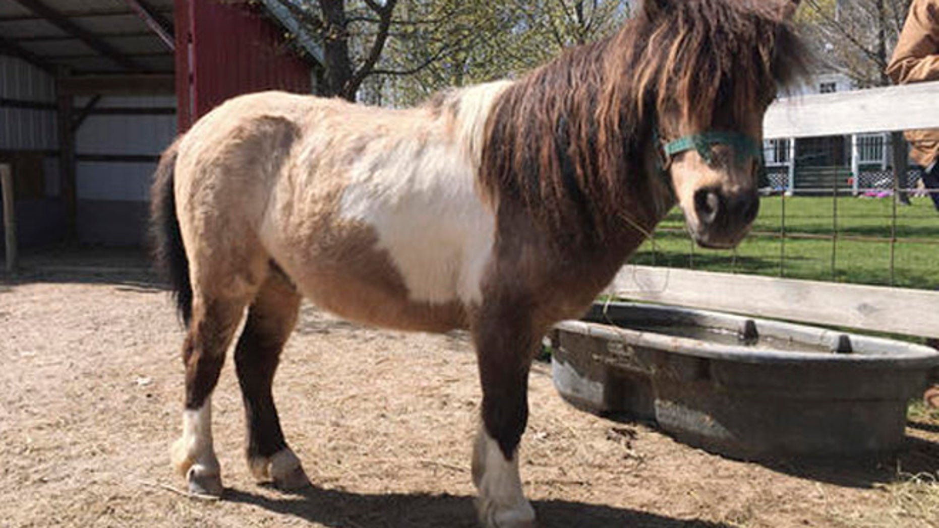 This May 9, 2016 photo, shows Samson, a miniature pony in Kenockee Township, Mich., with his tail cutoff. Two miniature horses were found by their owners Thursday, May 5, 2016 with the hair on their tails hacked off.