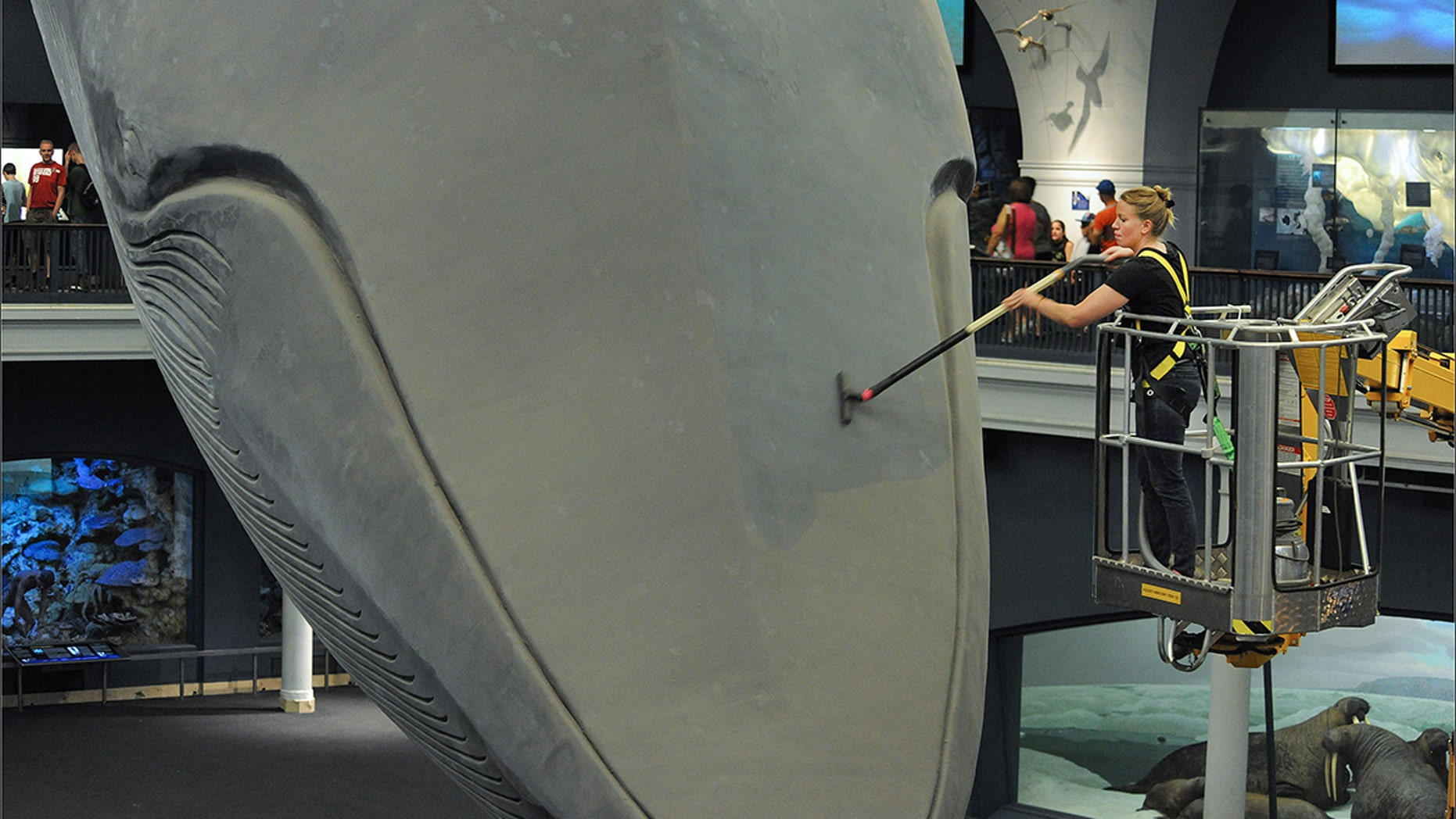 The American Museum of Natural History's blue whale gets its head vacuumed in 2014.