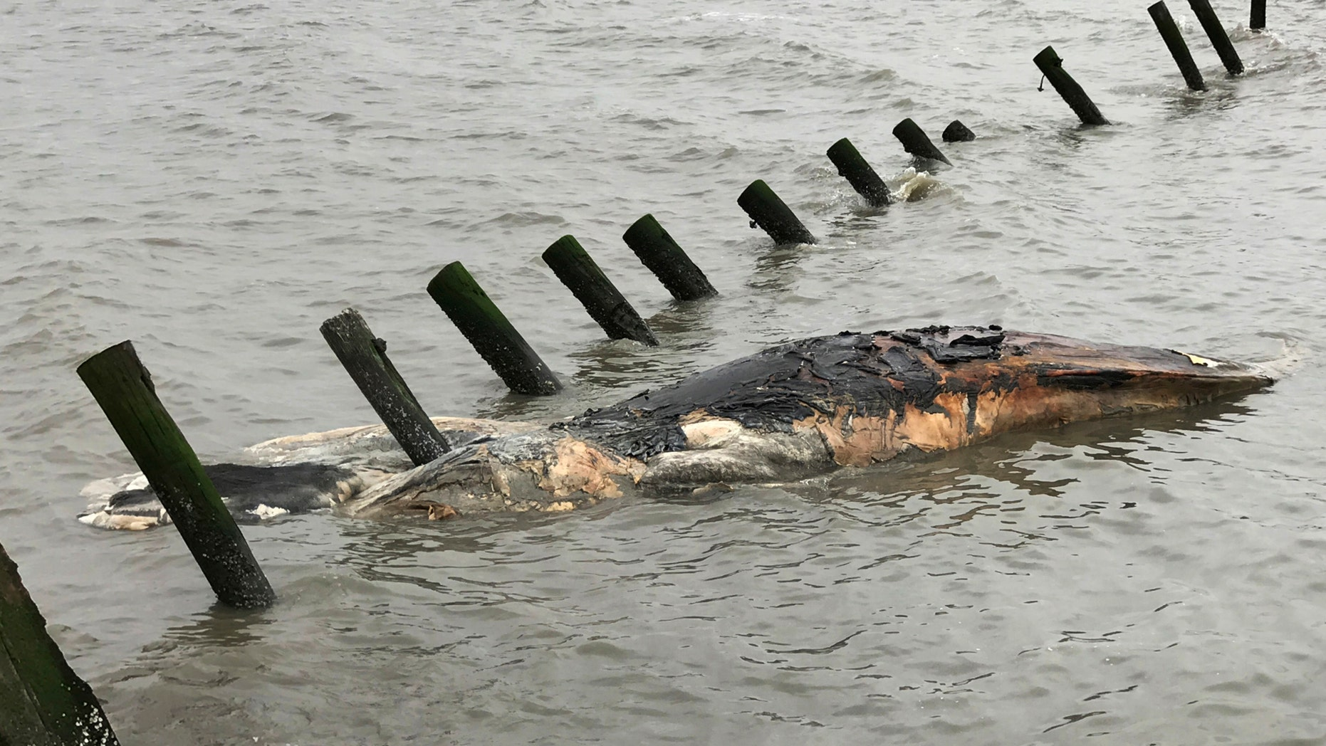 This April 24, 2017 photo provided by MERR Institute, Inc. shows a dead humpback whale at Port Mahon, Del. Federal officials said humpback whales have been dying in unusually large numbers along the Atlantic Coast.