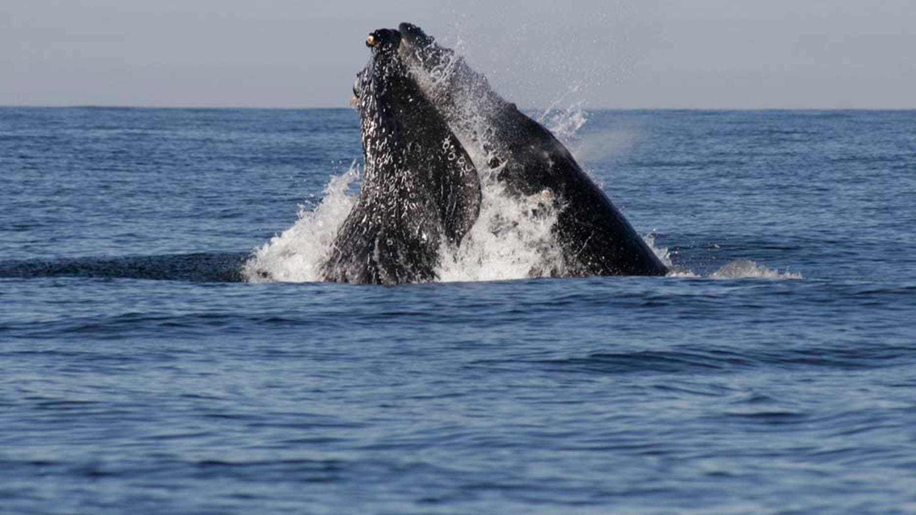 A humpback whale breaches in the waters of the Pacific Ocean near the Mexican resort city of Mazatlan, Mexico Wednesday Jan. 11, 2011. Every year the whales pass through these waters from the Eastern North Pacific to central Mexico, Baja California and even Central America for calving.  (AP Photo/Christiann Davis)