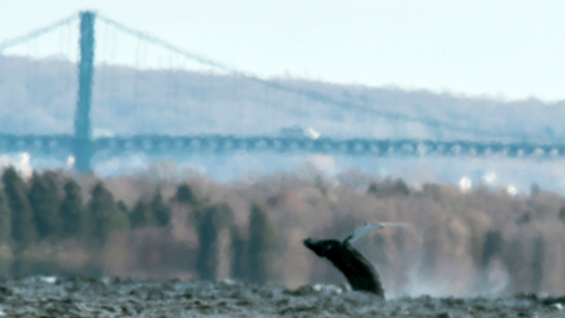 Dec. 28, 2015: In this photo provided by North Kingstown, R.I., Harbormaster Ed Hughes, a humpback whale breaches the surface near the Mount Hope Bridge in Rhode Island's Narragansett Bay.
