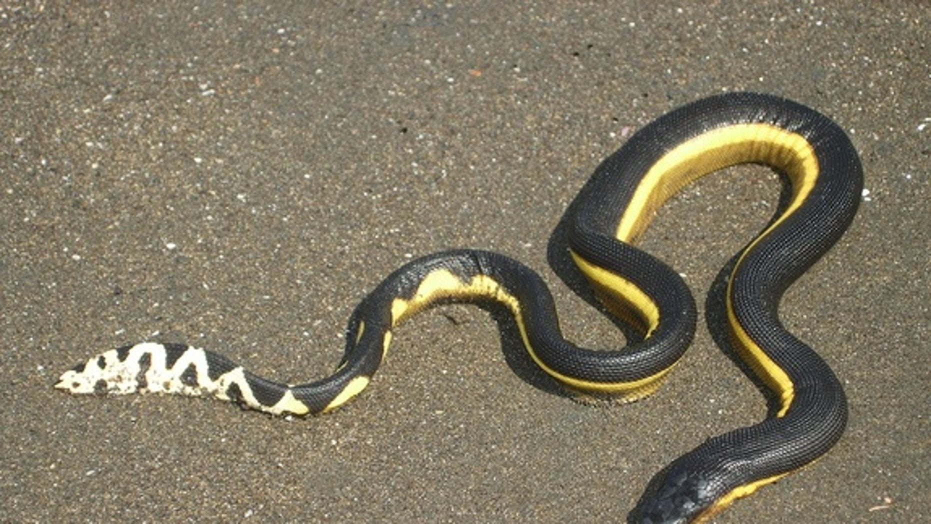 A yellow-bellied sea snake on the beach in Costa Rica