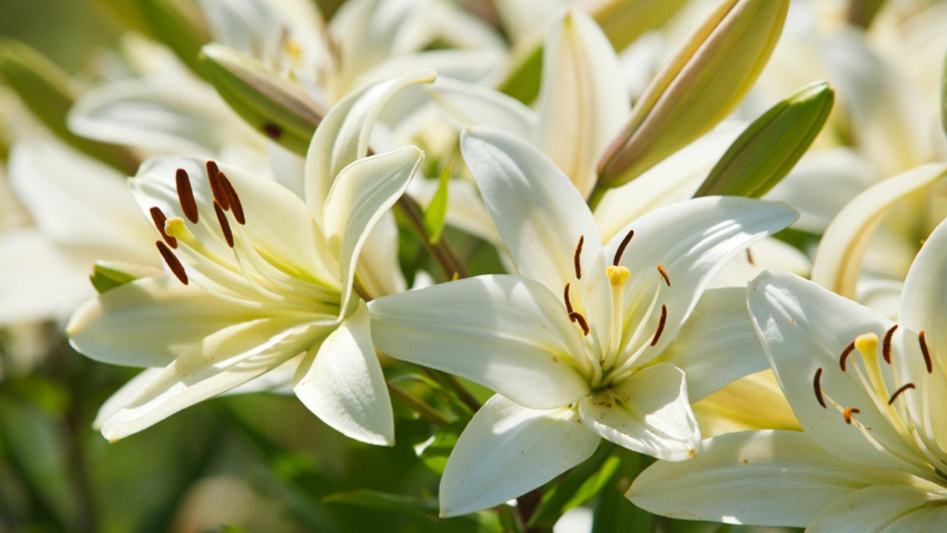White lilies in a garden