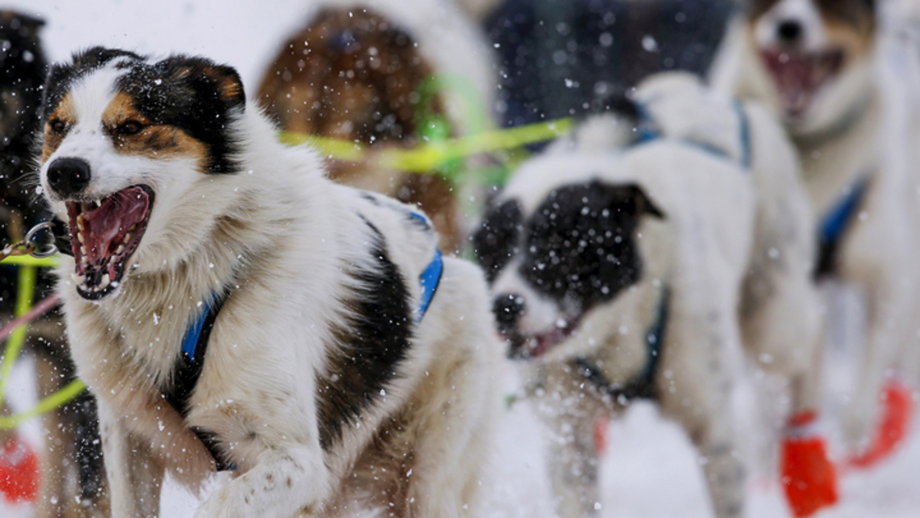 A team heads out at the ceremonial start of the Iditarod Trail Sled Dog Race to begin their near 1,000-mile (1,600-km) journey through Alaska's frigid wilderness in downtown Anchorage, Alaska March 5, 2016. REUTERS/Nathaniel Wilder - GF10000335148