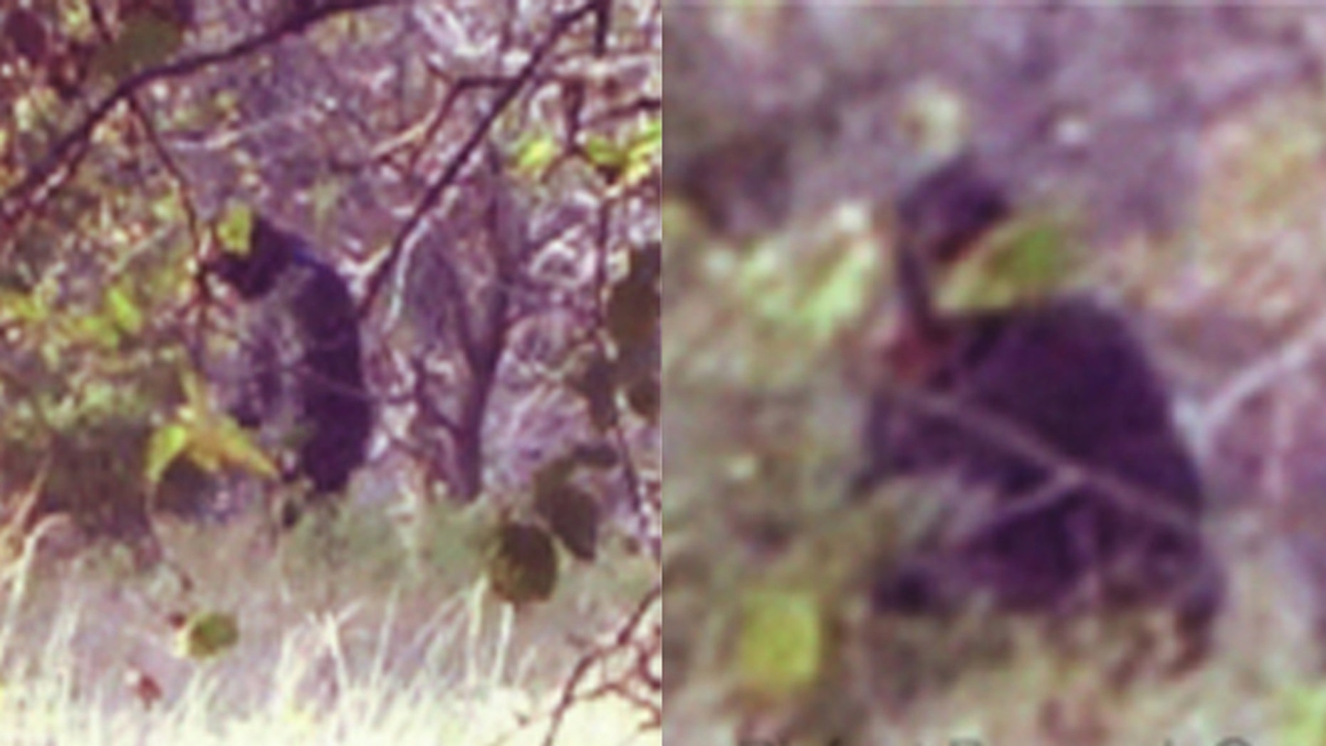 Photographs purportedly show a large, apelike creature in Central Oklahoma -- evidence they may also live in Texas, some say.