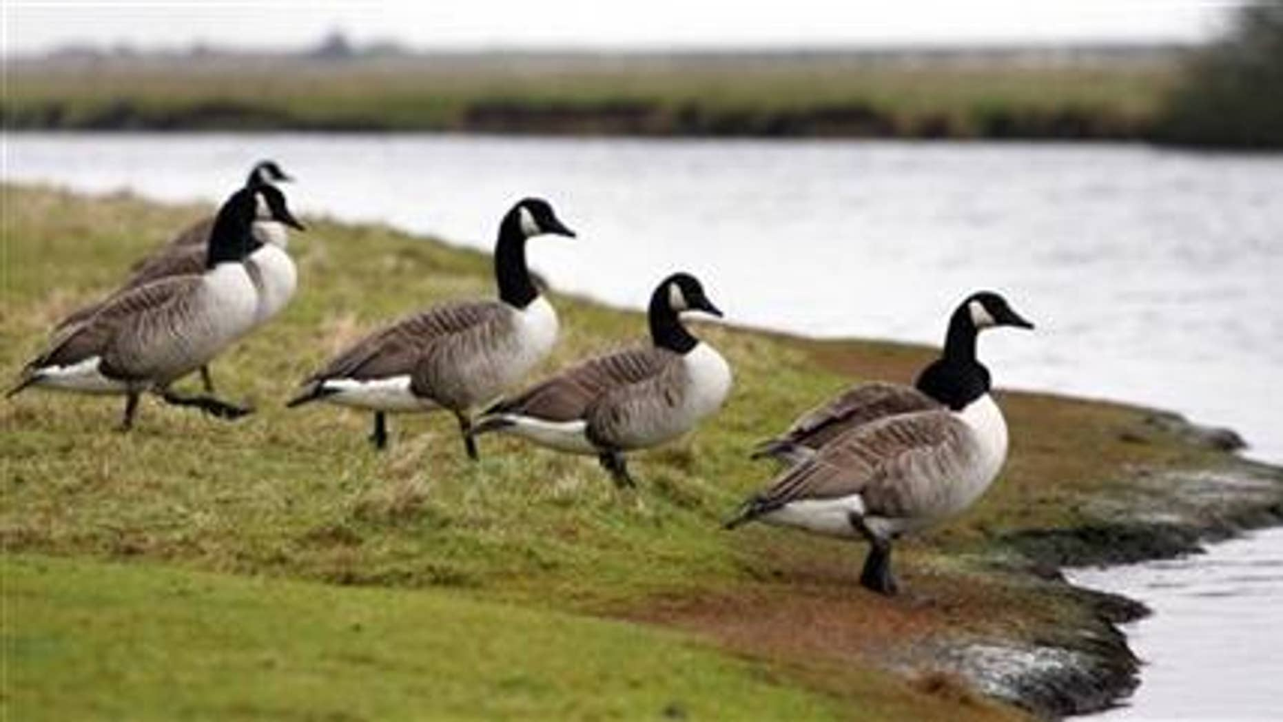 Canada geese walk towards the water at Cuckmere Haven in southern England.