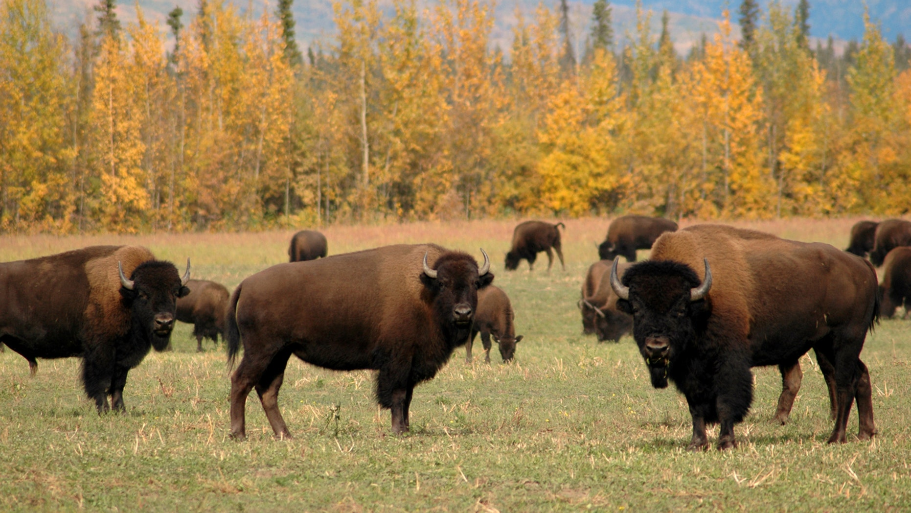 Wild bison may be making a comeback in the West.