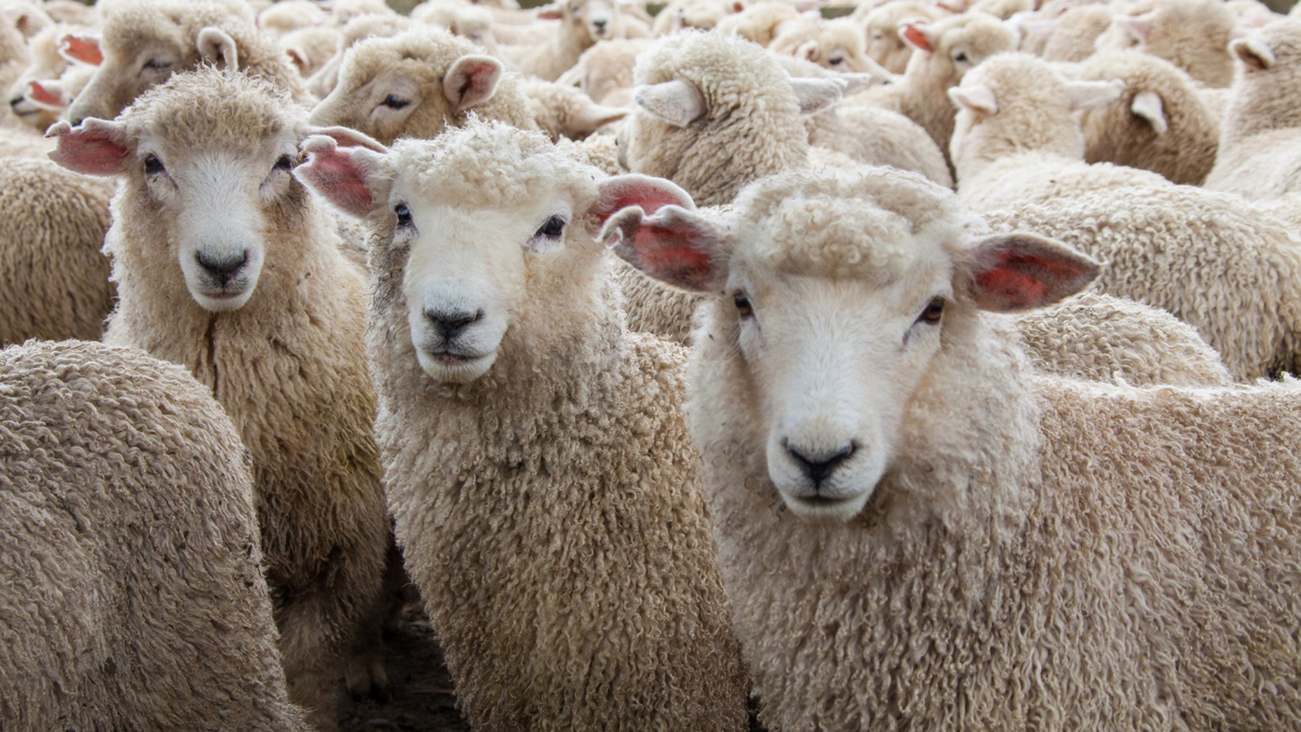 Hundreds of sheep jump to their deaths following bear attack.