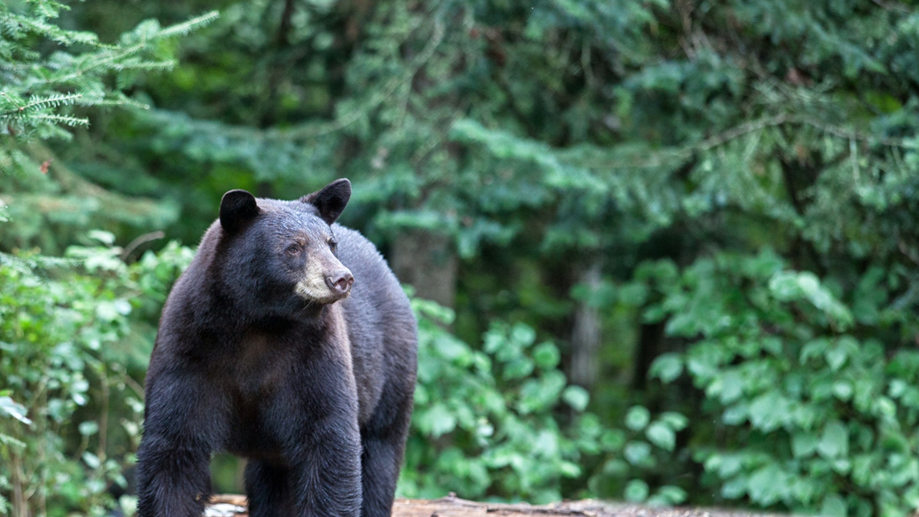 A black bear with a sweet tooth destroyed one New Jersey baker's car window early Thursday.