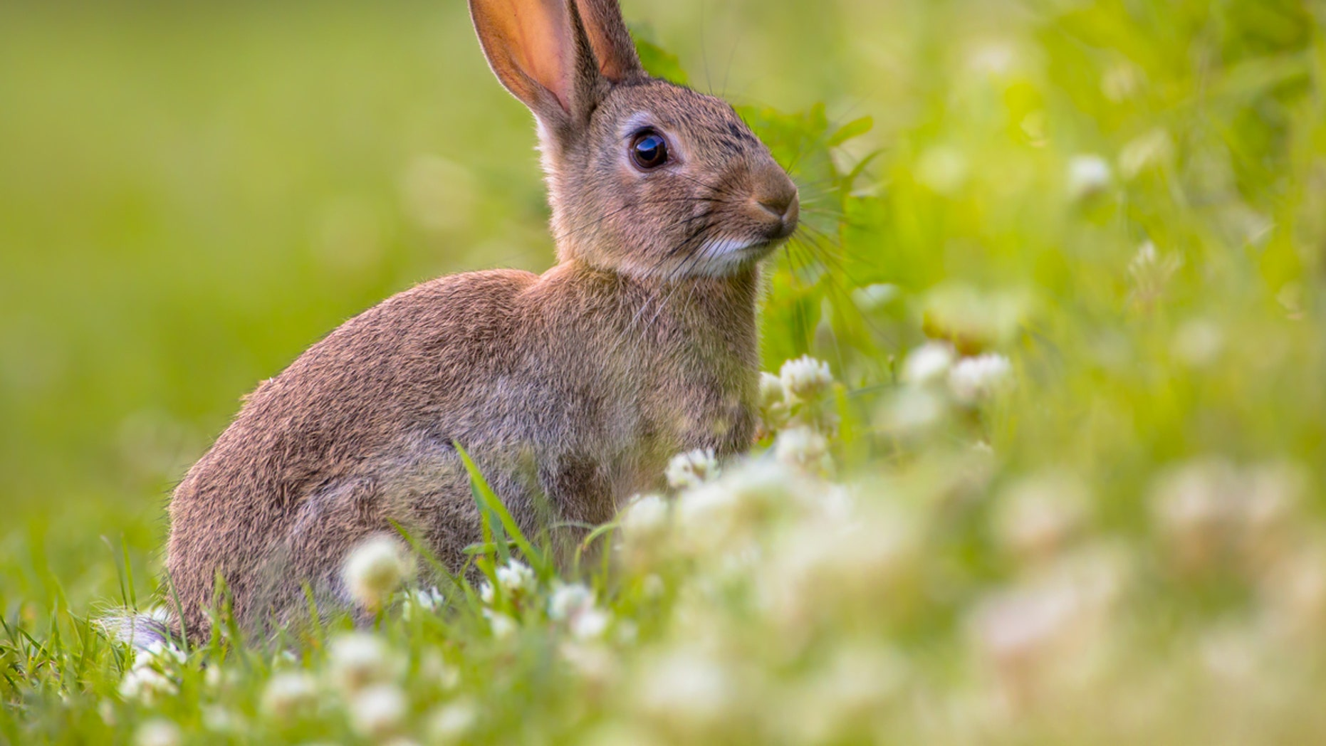 Rabbit fever is a bacterial infection caused by the bacterium Francisella tularensis.