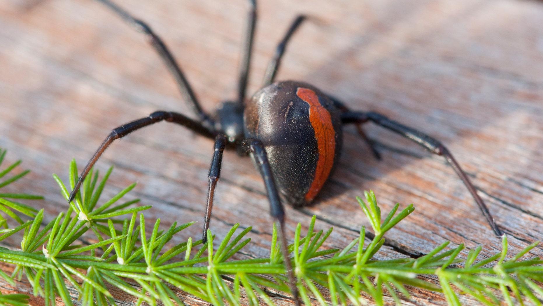 Redback Spider (Latrodectus Hasseltii) - Malbourne, Australia