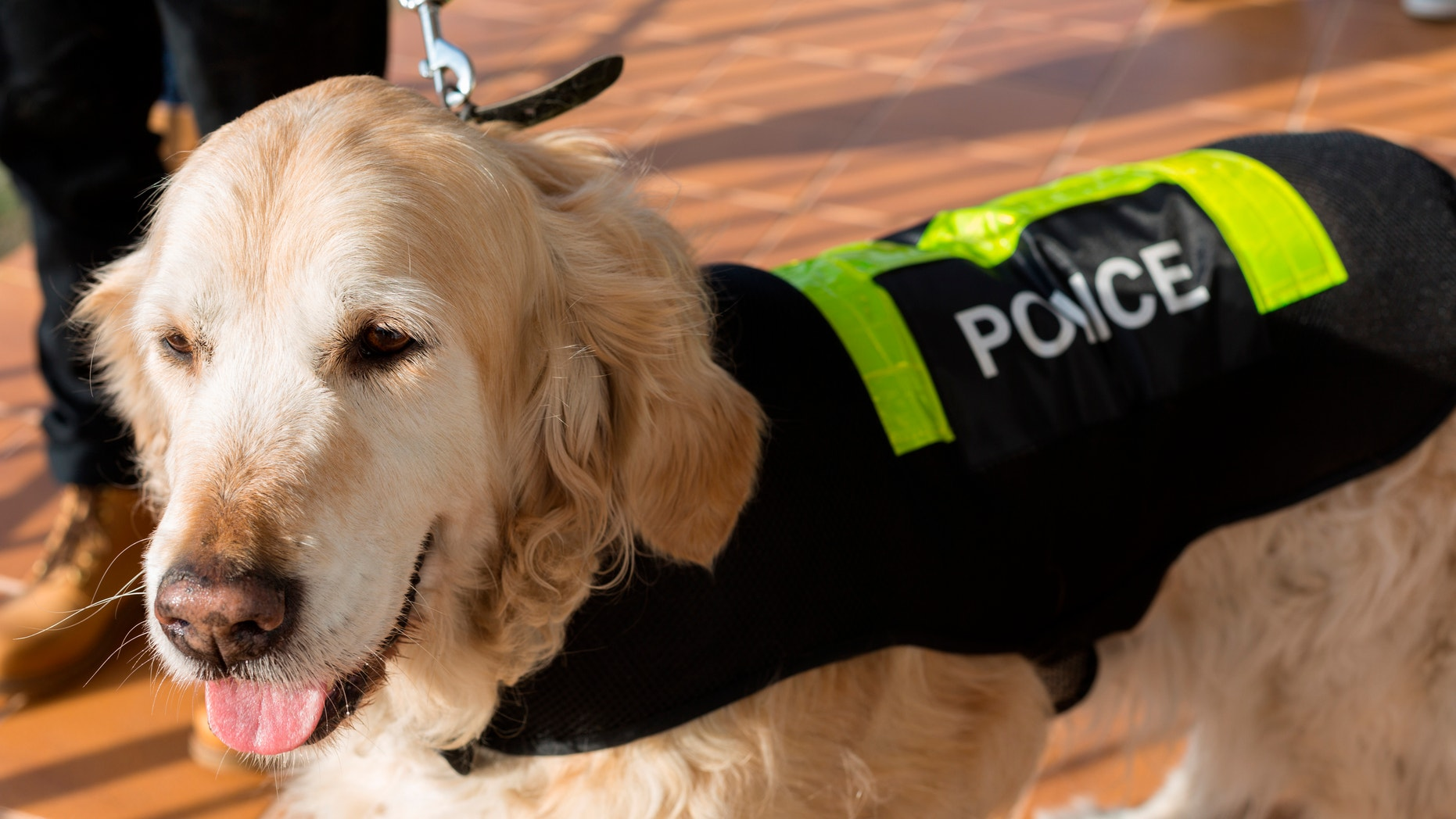 Golden Retriever dog with distinctive police