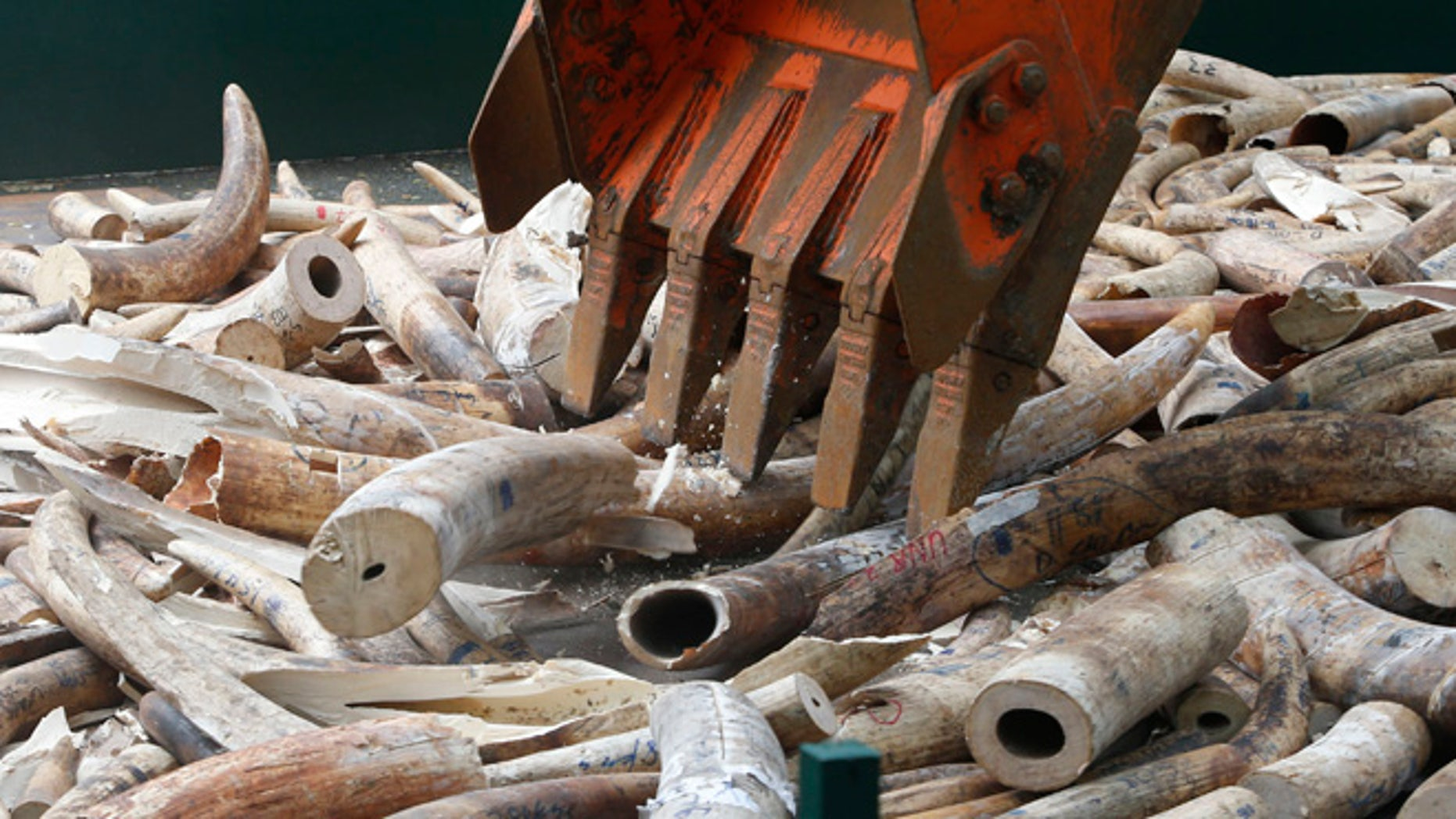 June 21, 2013: A back hoe crushes confiscated smuggled elephant tusks at the Parks and Wildlife center in Quezon City, Metro Manila.