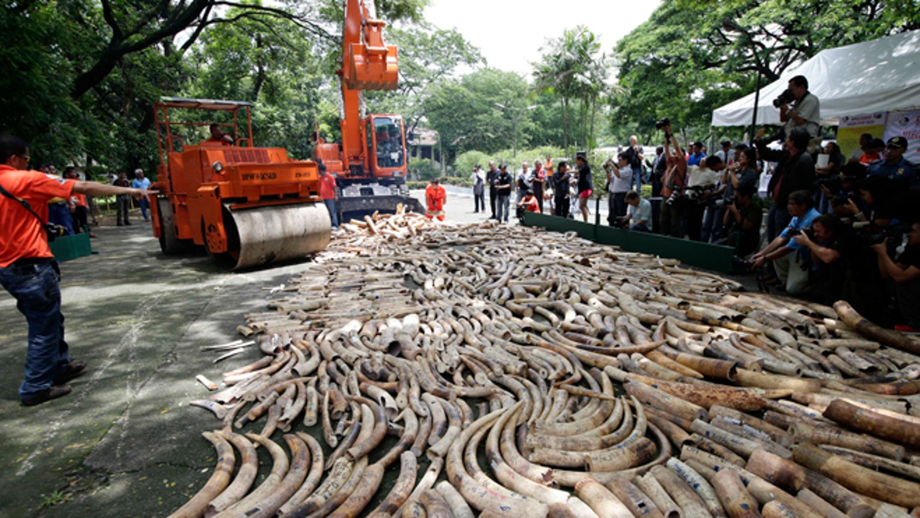 June 21, 2013: This file photo shows a steamroller and a backhoe used to crush seized elephant tusks during a destruction ceremony at the Protected Areas and Wildlife Bureau of the Department of Environment and Natural Resources in Quezon city, northeast of Manila, Philippines.
