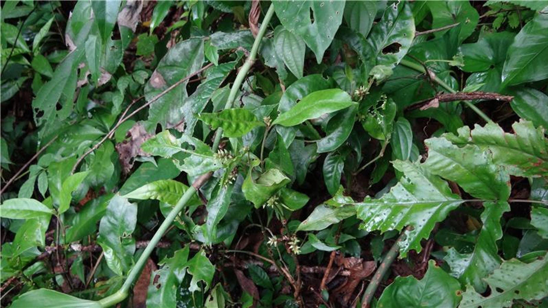 A Jamesbondia plant. (Taylor & Francis)
