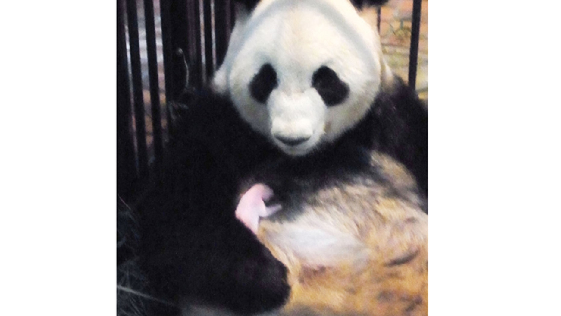In this Friday, July 6, 2012 photo released by the Ueno Zoological Park Society, Shin Shin, a 7-year-old giant panda, cuddles her newly born male giant panda in their cage at Ueno Zoo in Tokyo. The panda baby, who was born Thursday, July 5, 2012, died of pneumonia at the zoo on Wednesday, July 11, less than a week after becoming the first panda to be born at the facility in 24 years.