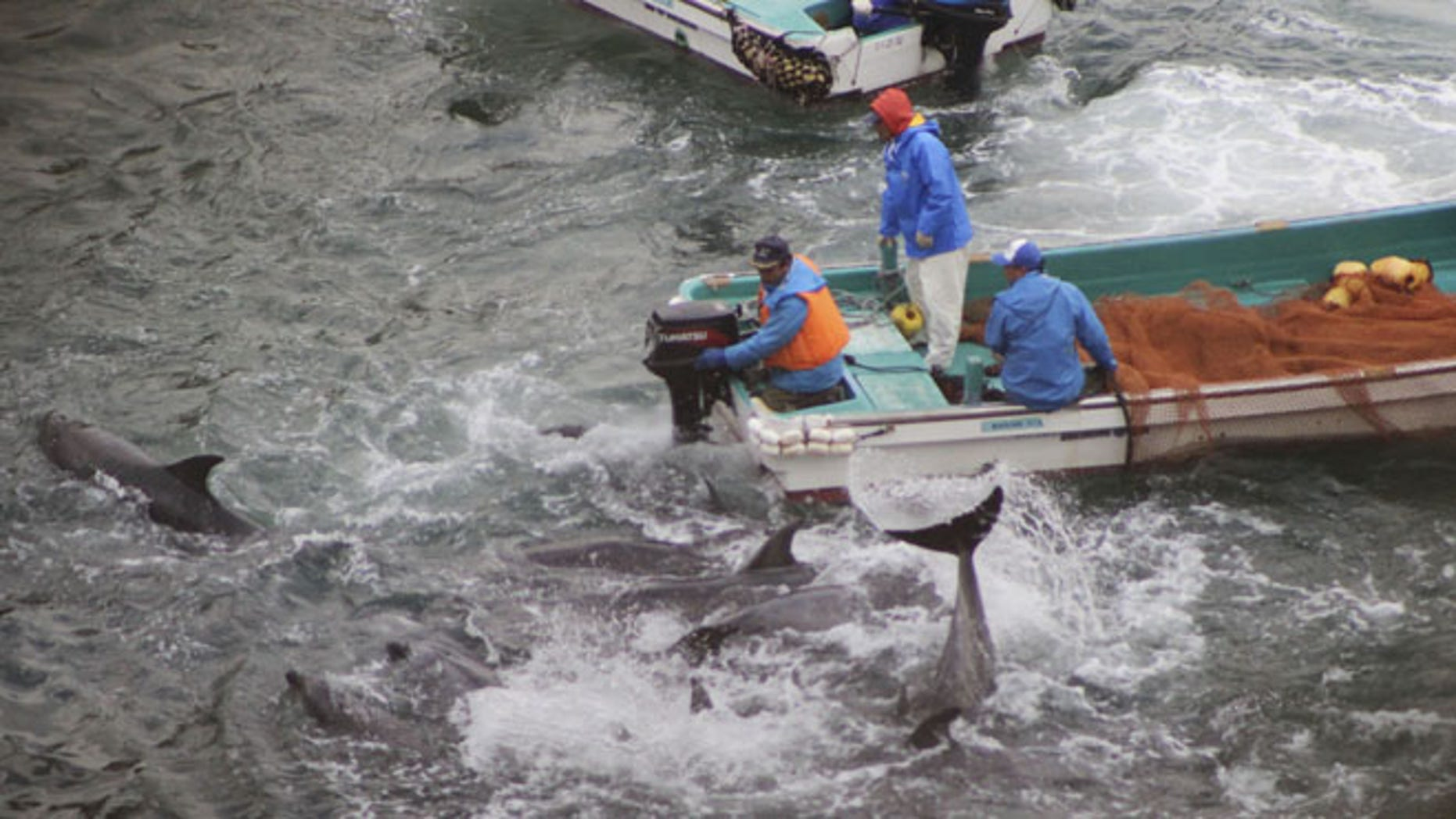 Jan. 20, 2014: In this photo provided by Sea Shepherd Conservation Society Tuesday, Jan. 21, 2014, fishermen on boats drive bottlenose dolphins away during the selection process in Taiji, western Japan.