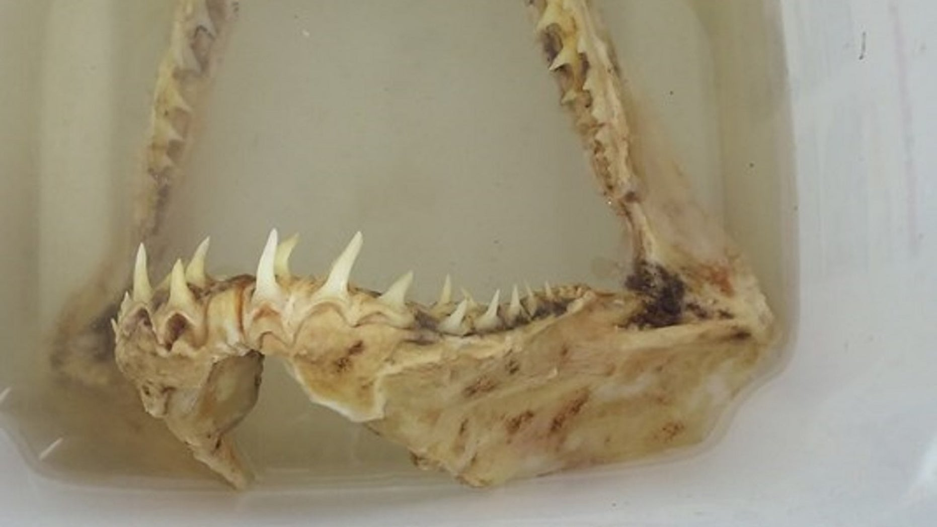 A Minnesota man caught a shark jawbone on the Mississippi River. The jawbone has been identified as coming from a sand tiger shark.