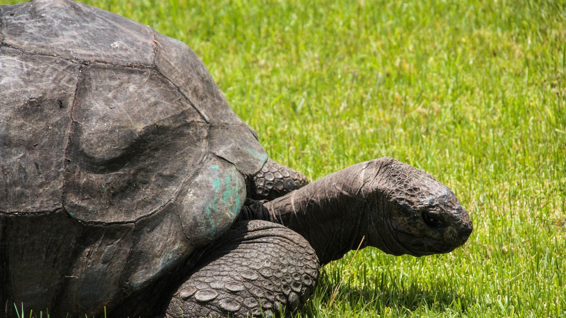 File photo of Jonathan the tortoise (Steven Humphreys/iStock).