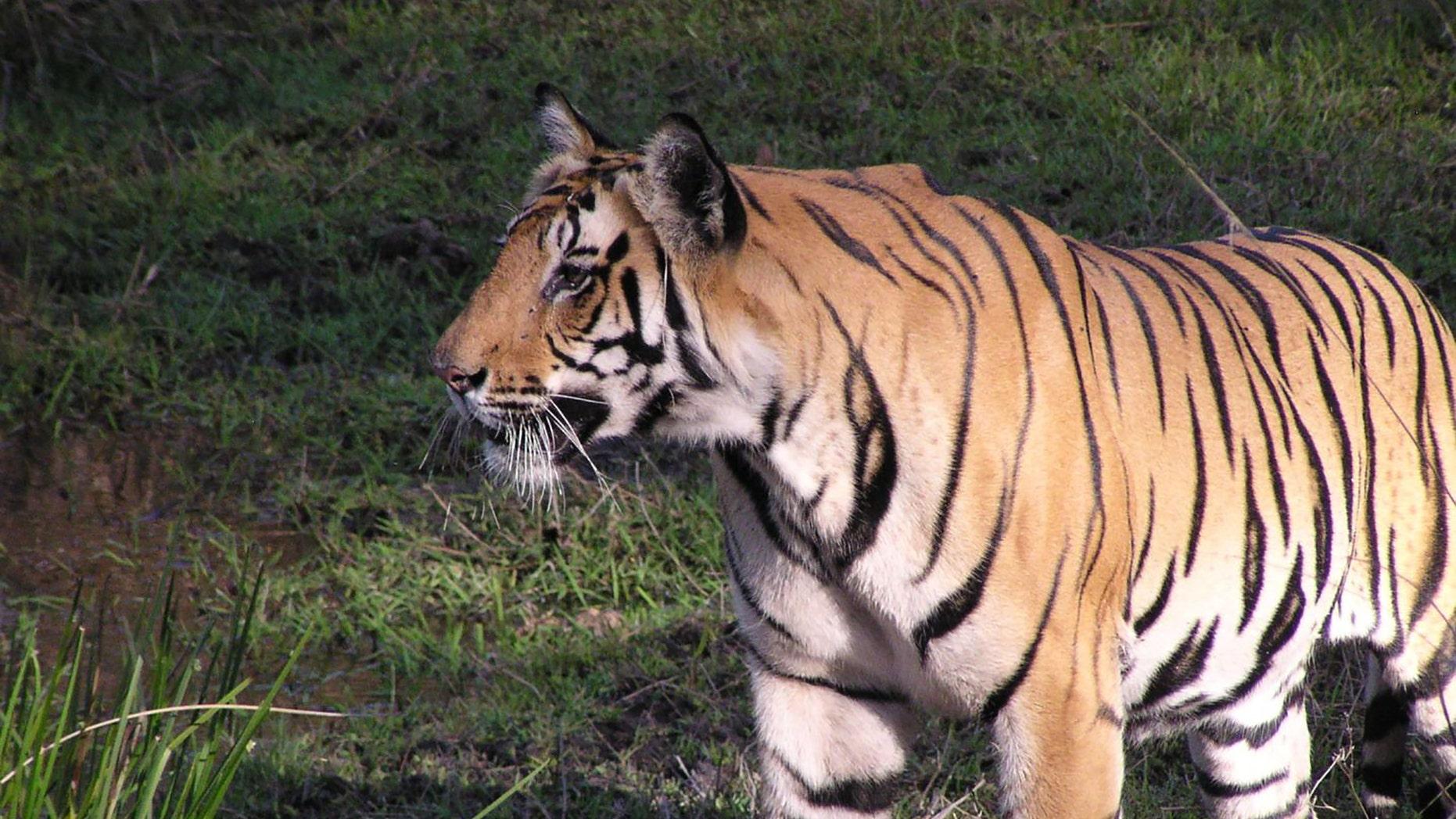A tiger looking for boar in Bandhavgarh National Park in India. (Sue Palminteri)