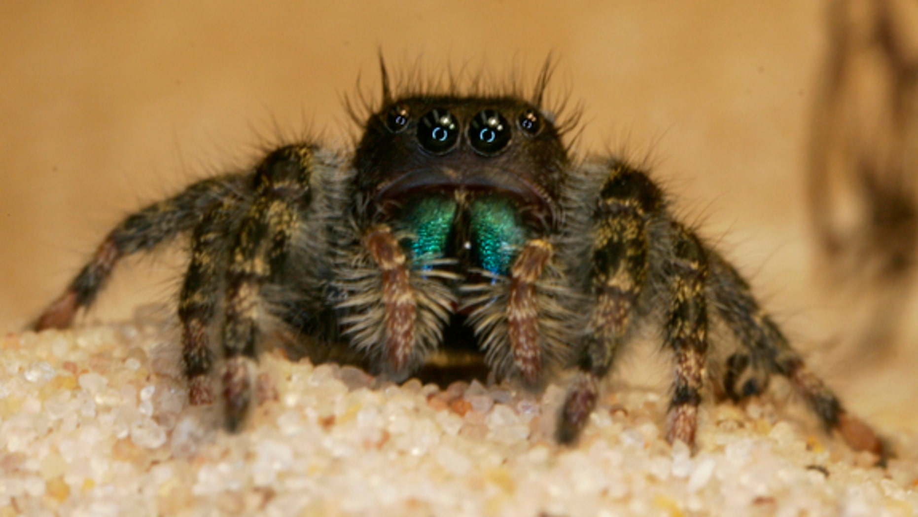 The inner workings of the brains of jumping spiders remained elusive until now.