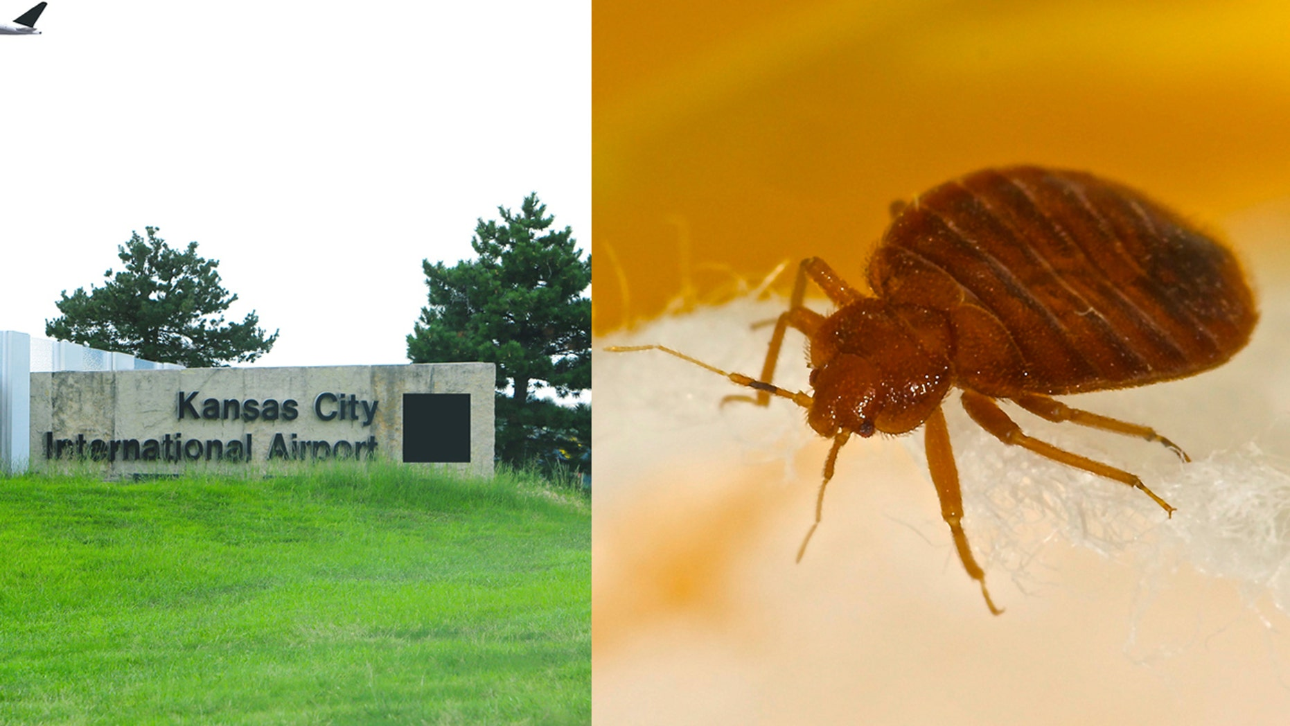 Airport staff found a live infestation of bed bugs on an upholstered chair in the Missouri airport.