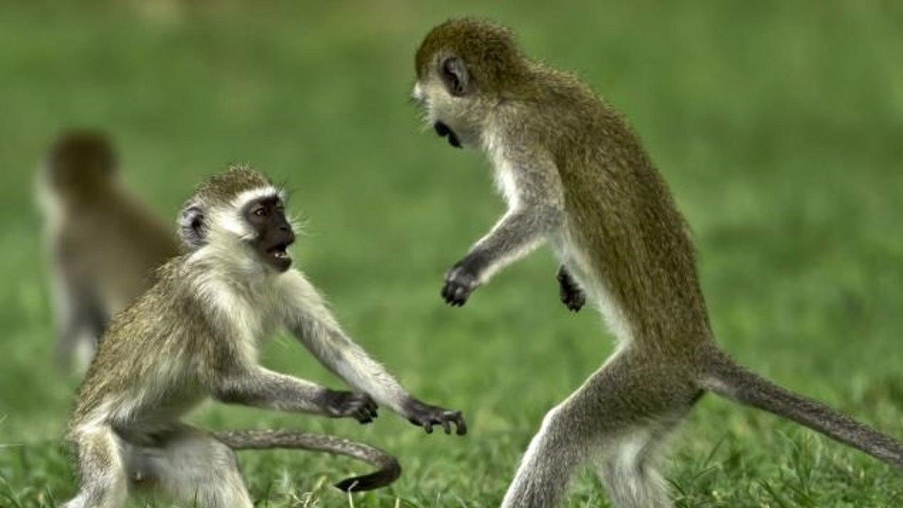 Vervet monkeys playing in Kenya's Great Rift Valley in 2012.