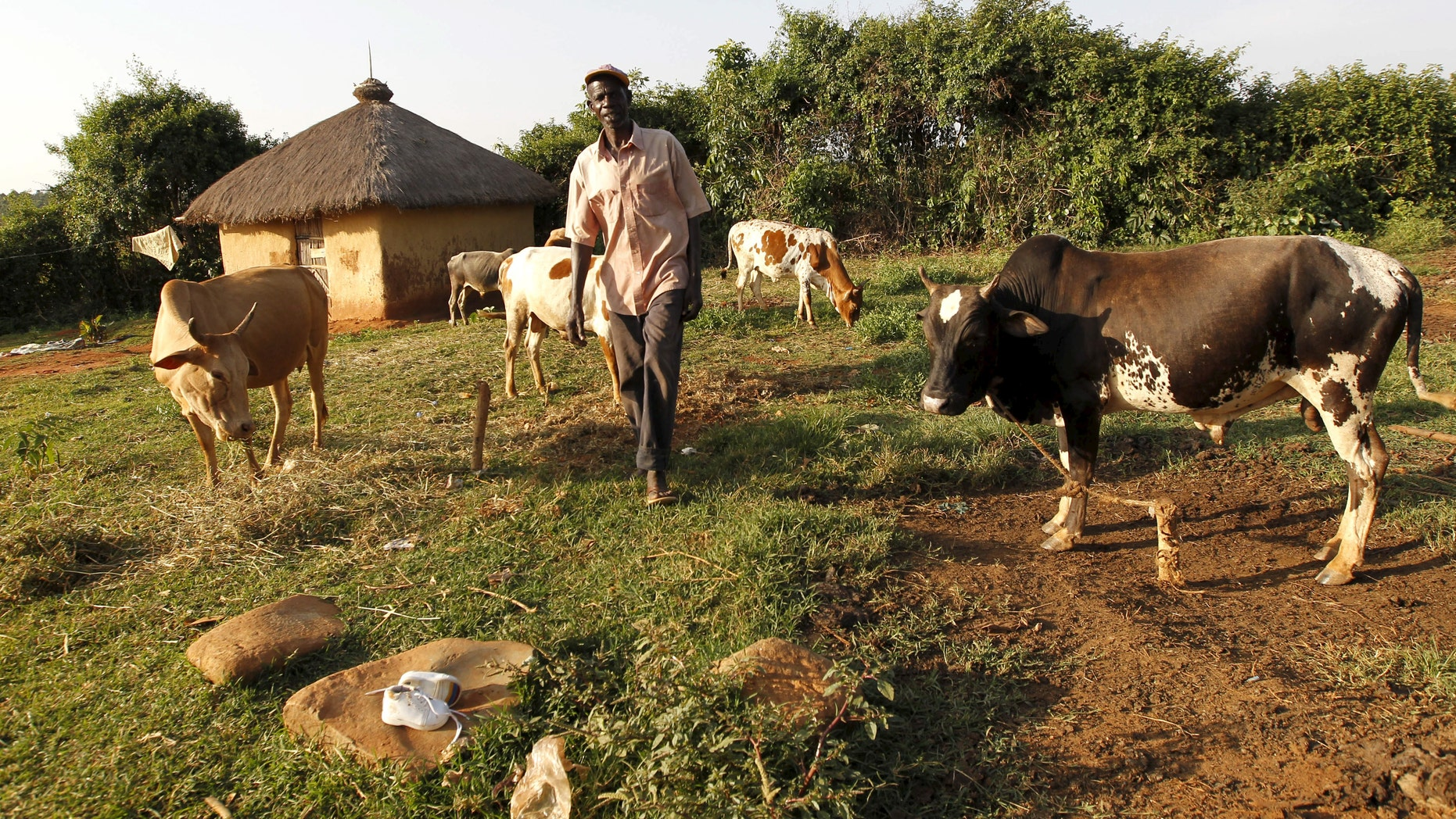 File photo - John Okoth, a 64-year-old herdsman and a farmer, tends to his cattle at his homestead in Kogelo, west of Kenya's capital Nairobi, July 14, 2015. (REUTERS/Thomas Mukoya)