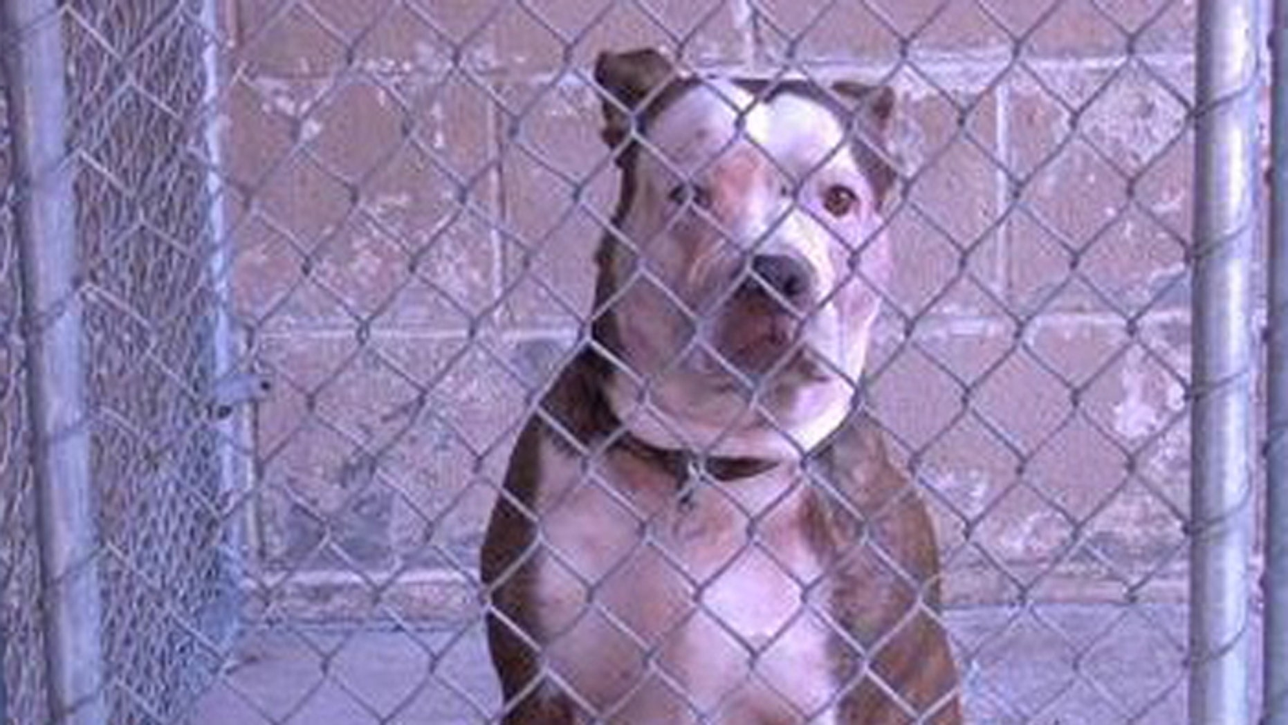 This pit bull has been quarantined after killing a man who was trying to revive its owner. (Courtesy: Ohio County, WV, Animal Control)